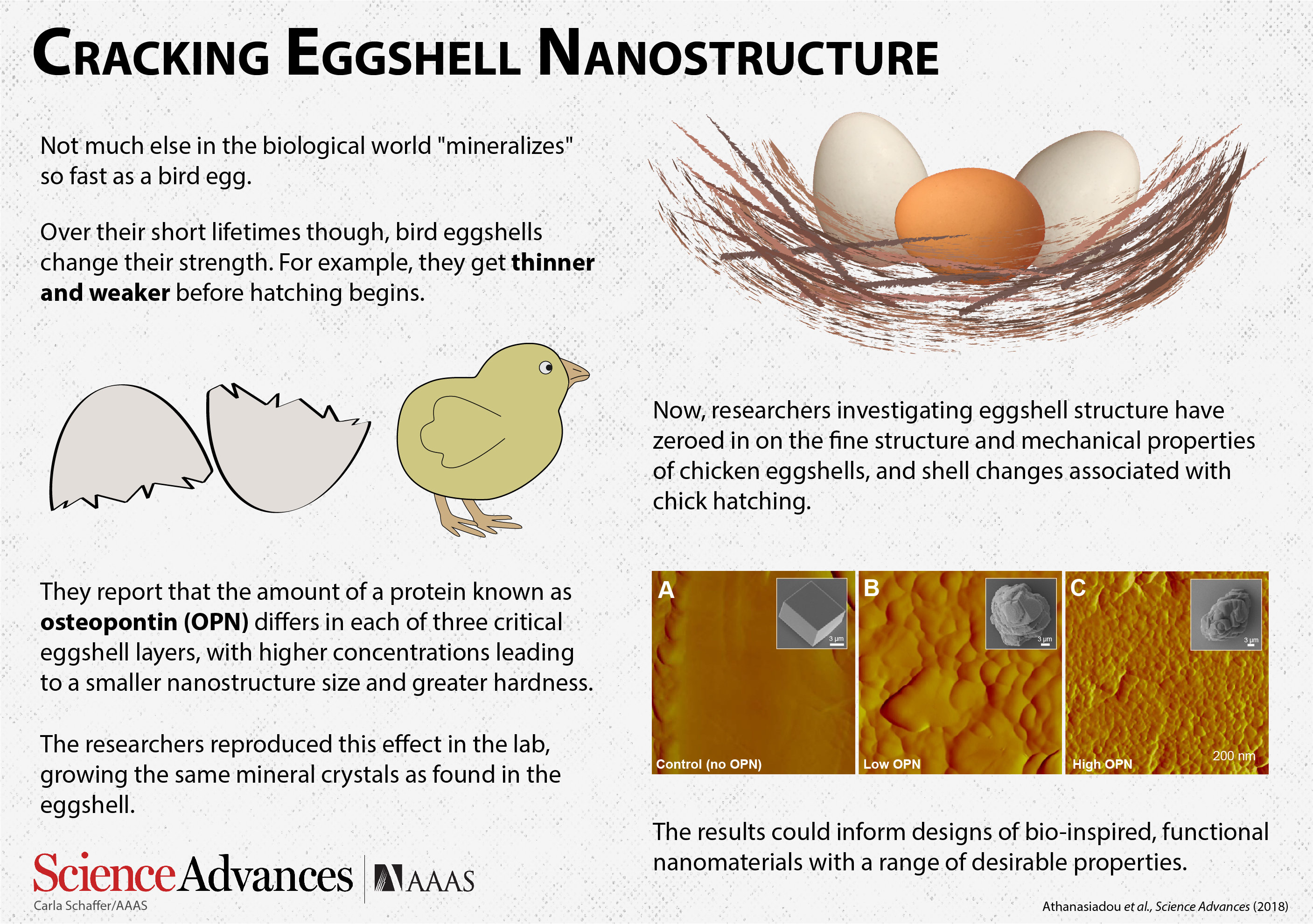 Cracking Eggshell Nanostructure New Discovery Could Have Important
