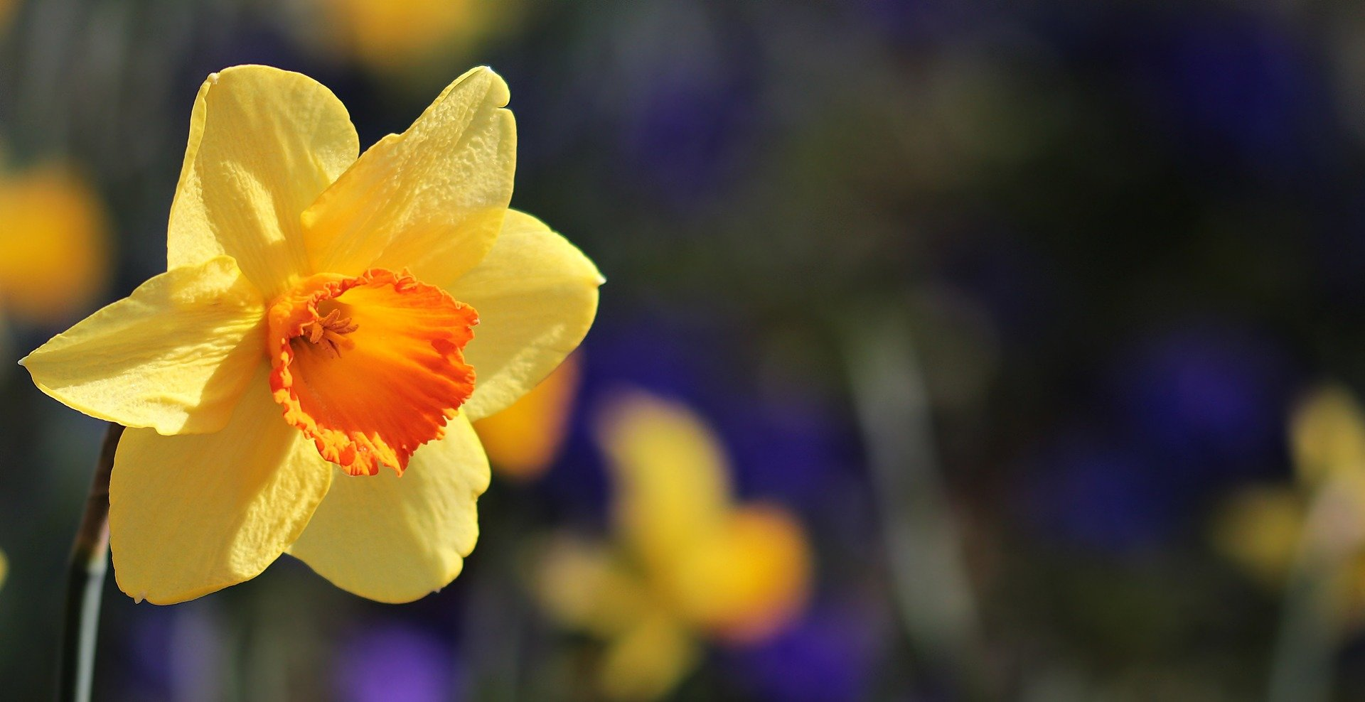 Researchers Map Daffodils Chloroplast Genome For The First Time