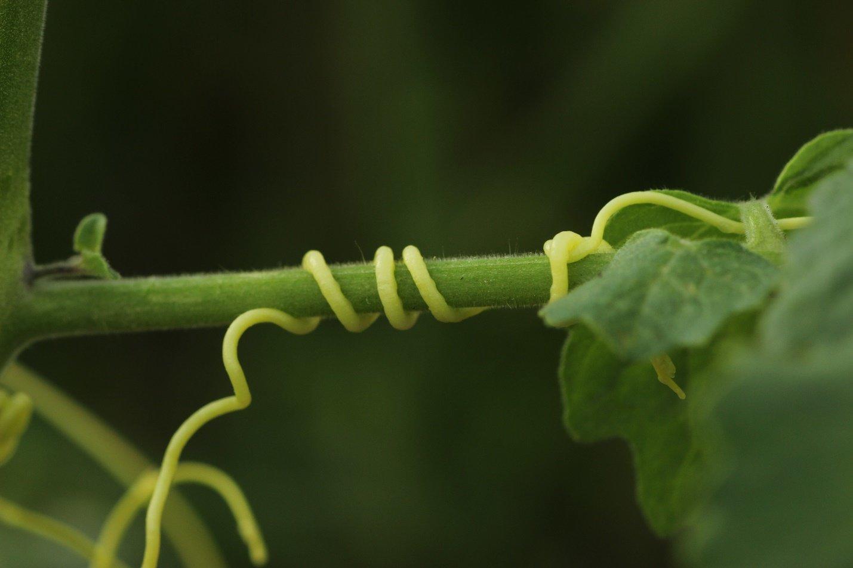 Plant-parasite dodder: fighting measures