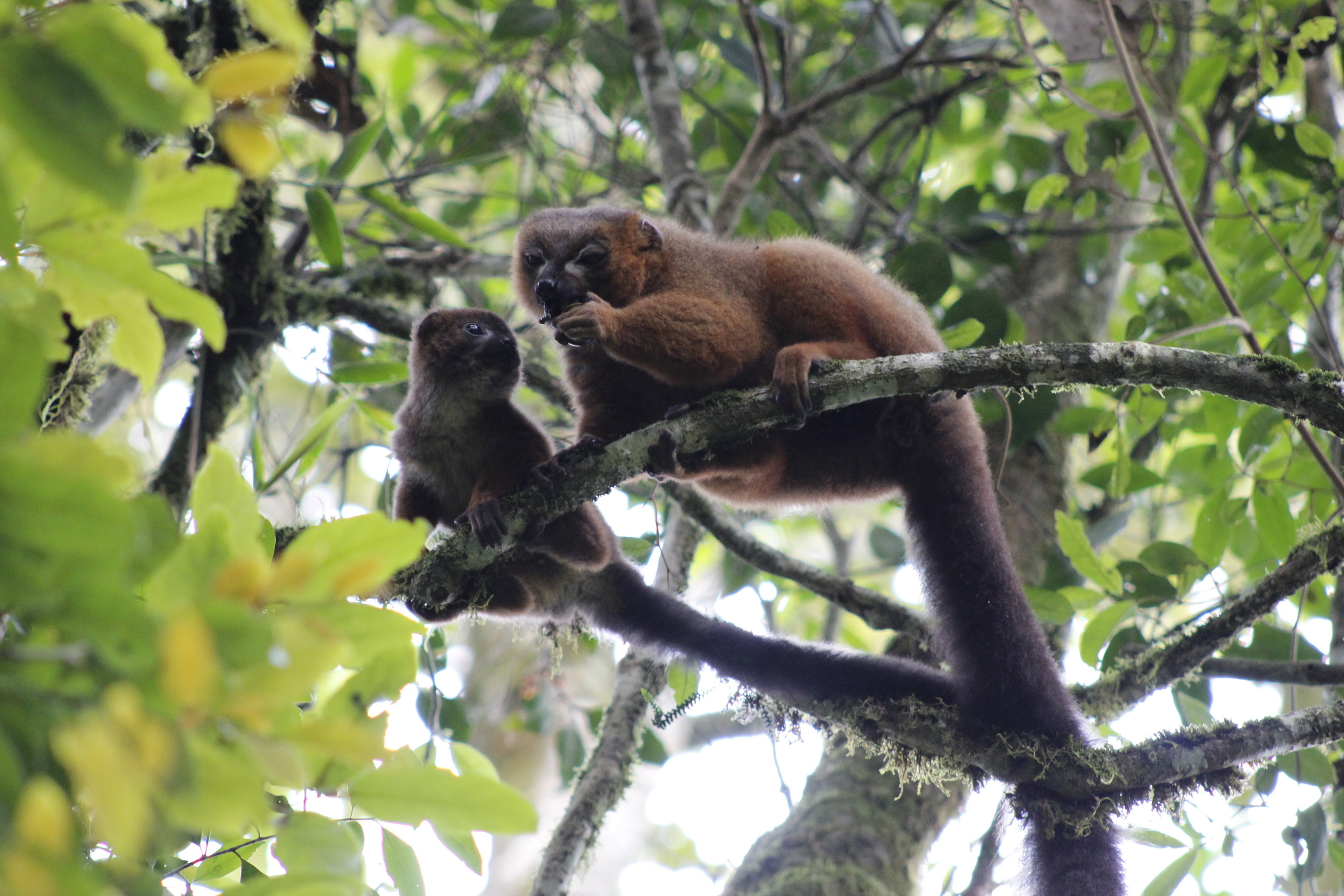 photo image Elevated androgens don't hinder dads' parenting—at least not in lemurs
