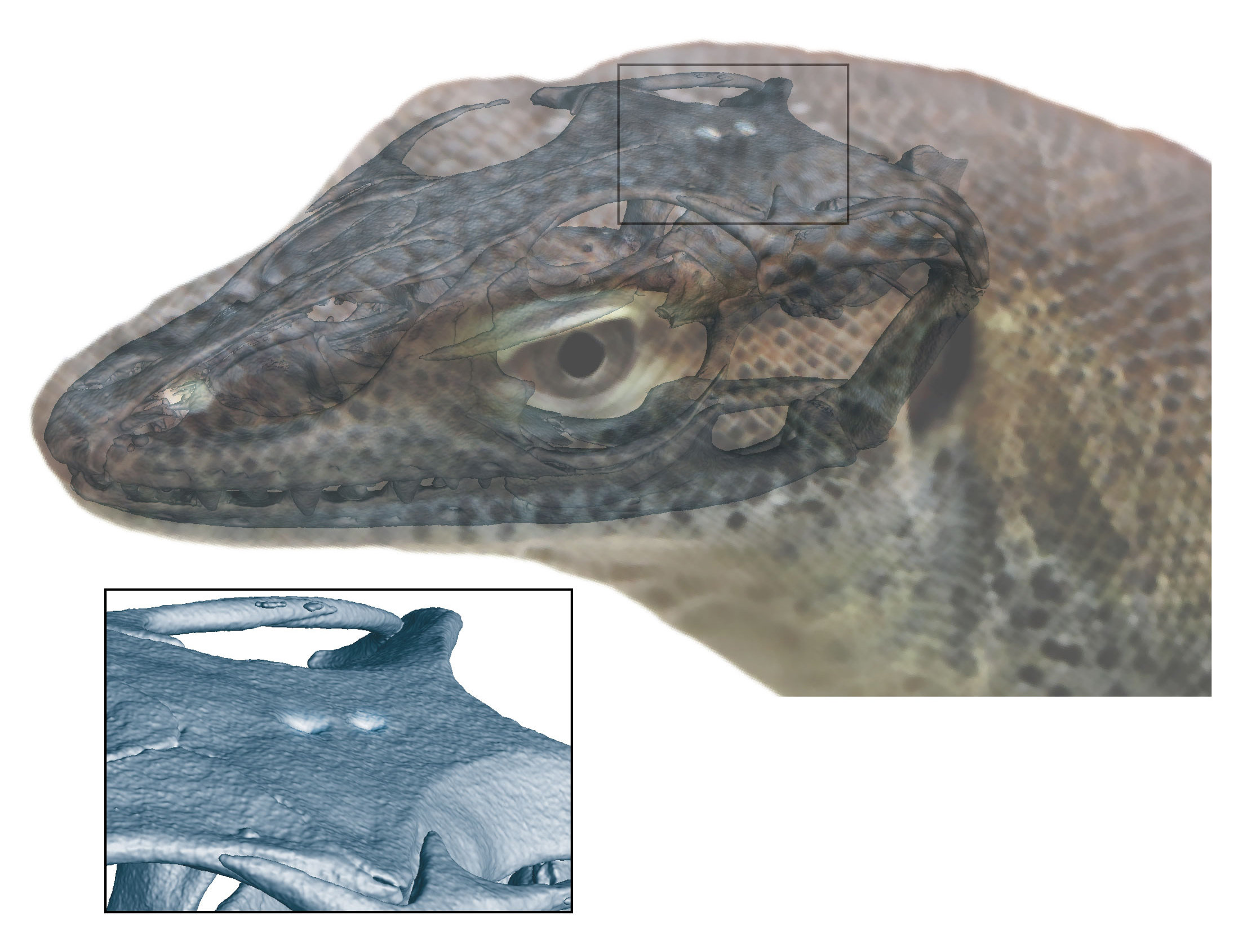 Extinct Monitor Lizard Had Four Eyes Fossil Evidence Shows