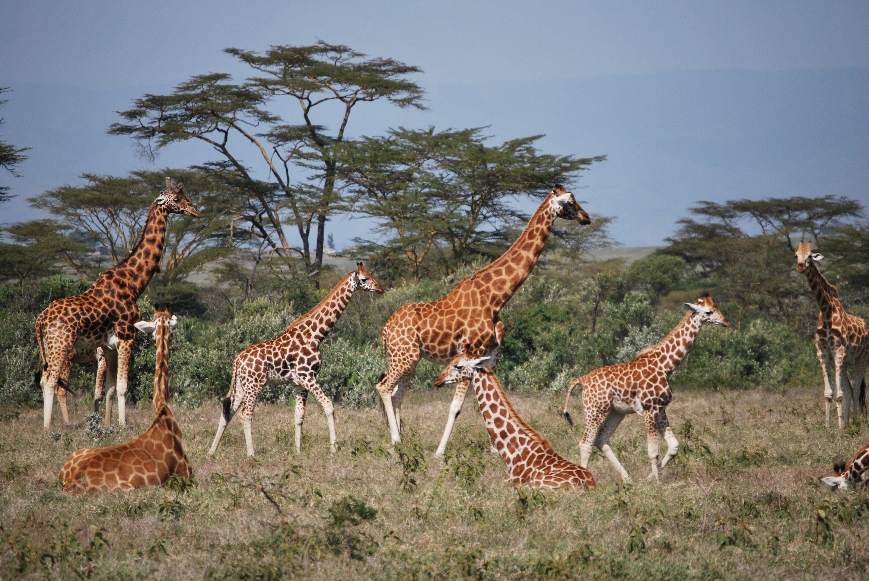 giraffes surprise biologists yet again