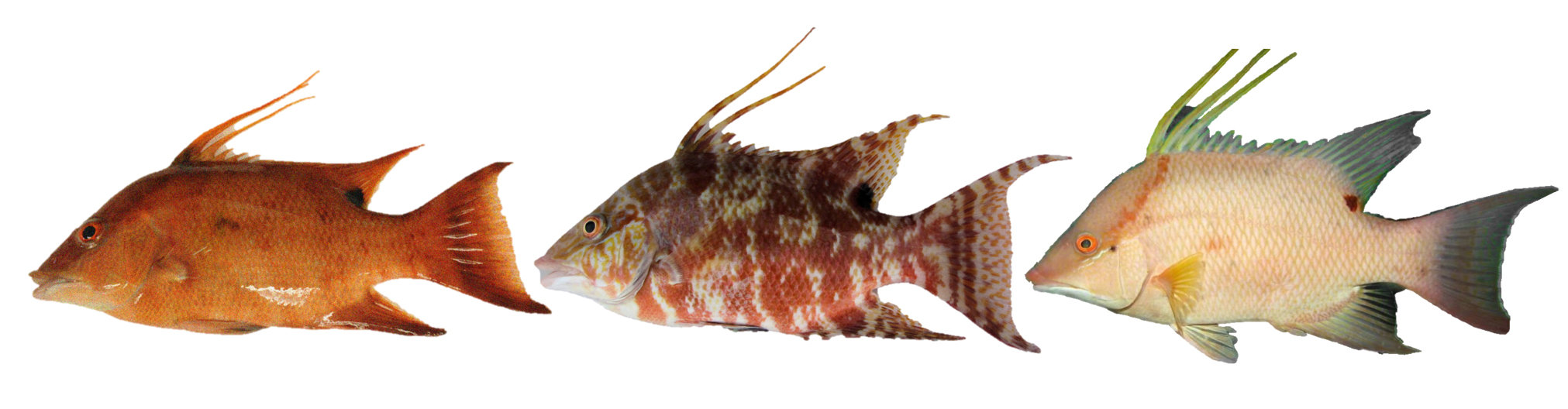 How the color changing hogfish 39 sees 39 with its skin for Are fish considered animals
