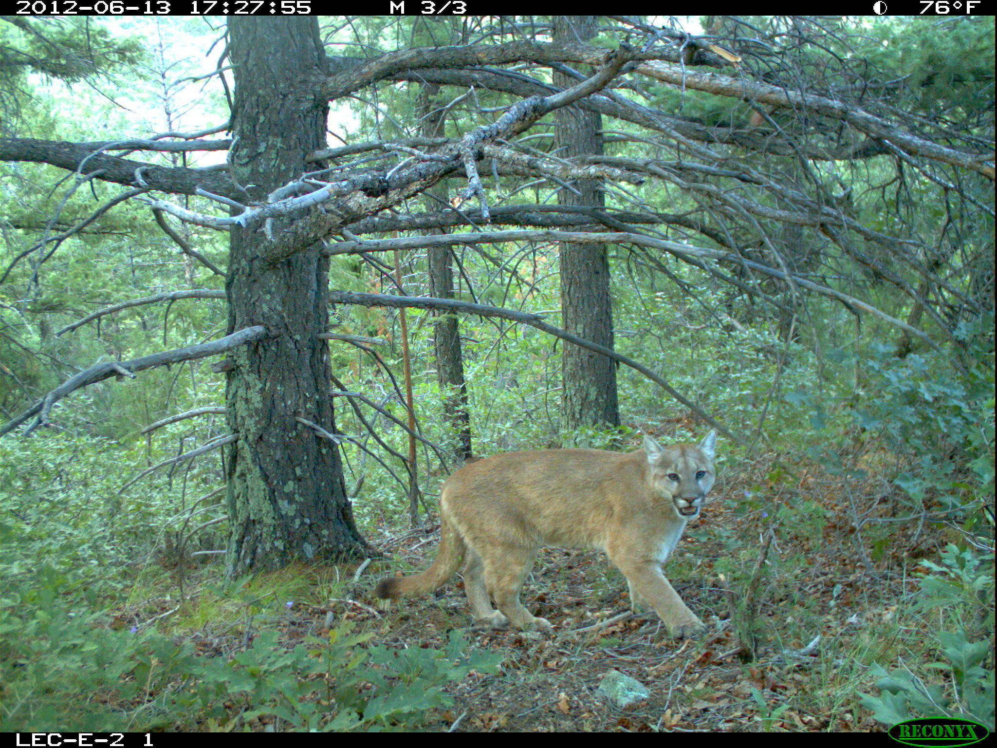photo image Hunger guides mountain lions' actions to enter residential areas