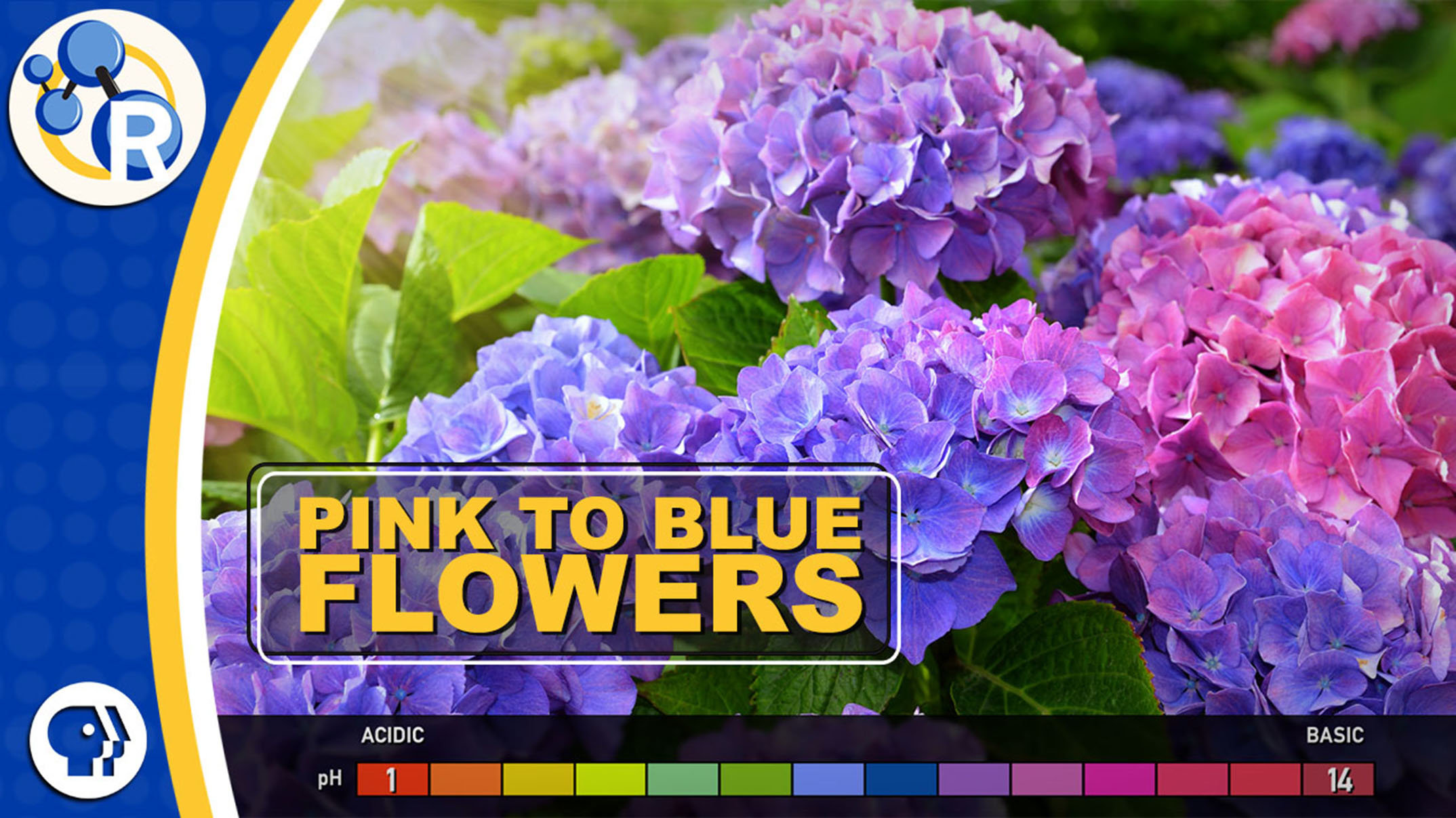 Video Hydrangeas The Strange Color Changing Flowers