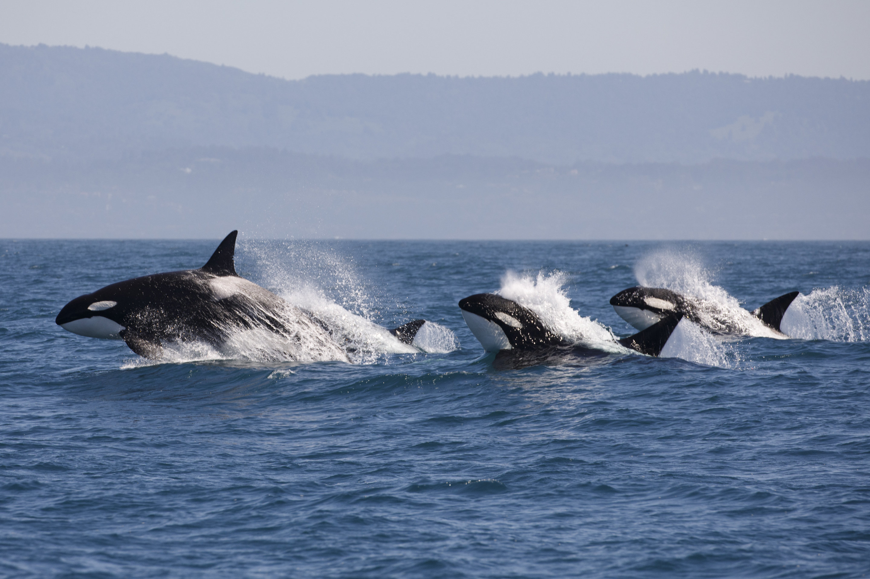 killer whales: why more than half world's orcas are threatened by