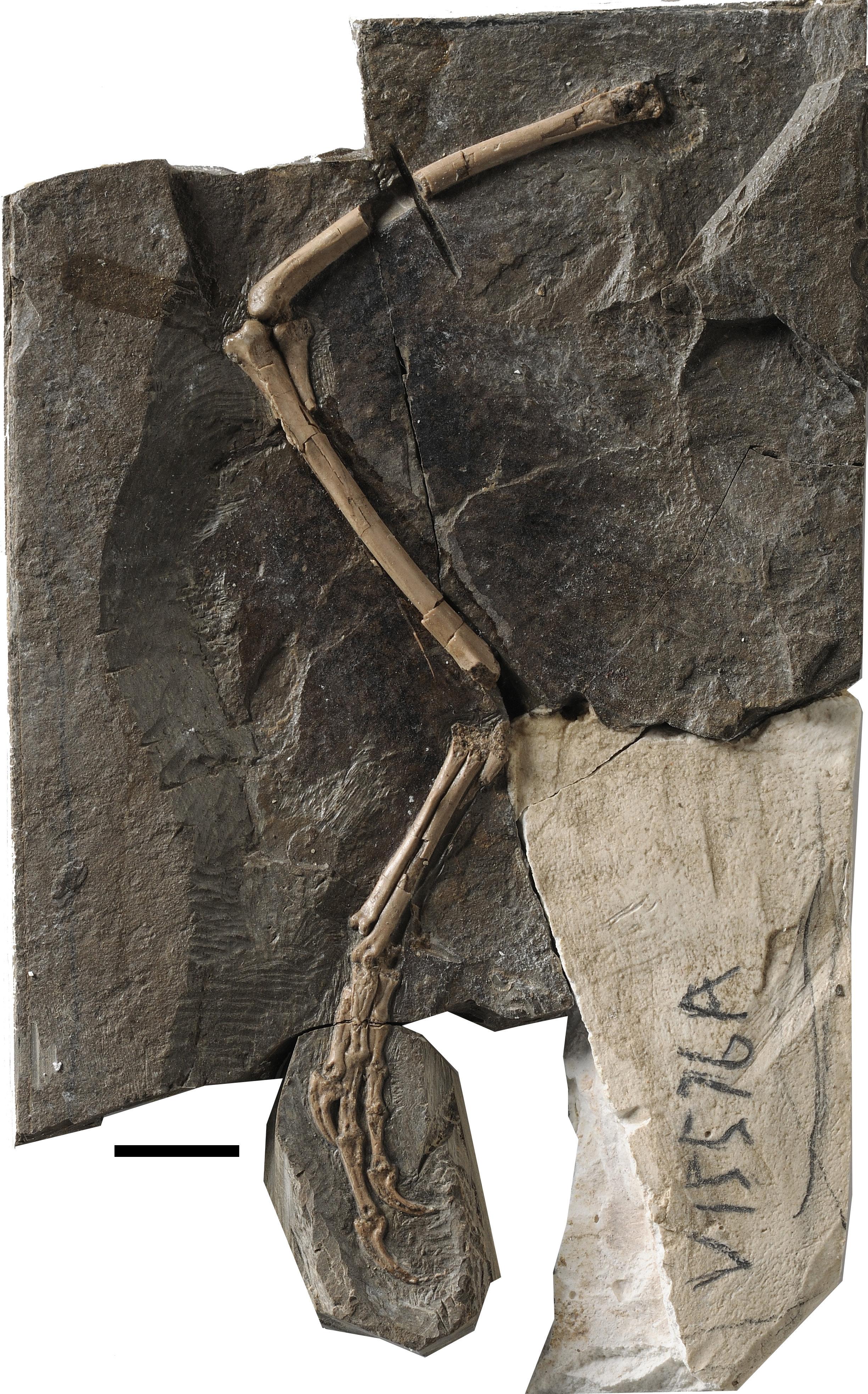 Medullary bone found in Cretaceous birds