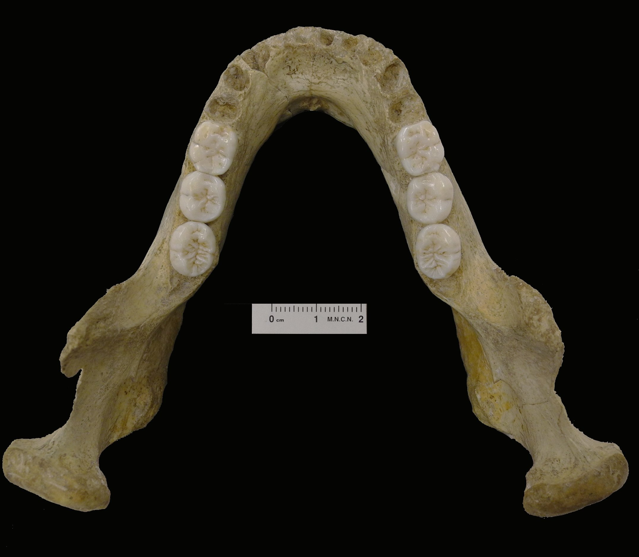 montmaurin la niche mandible reveals the complexity of the