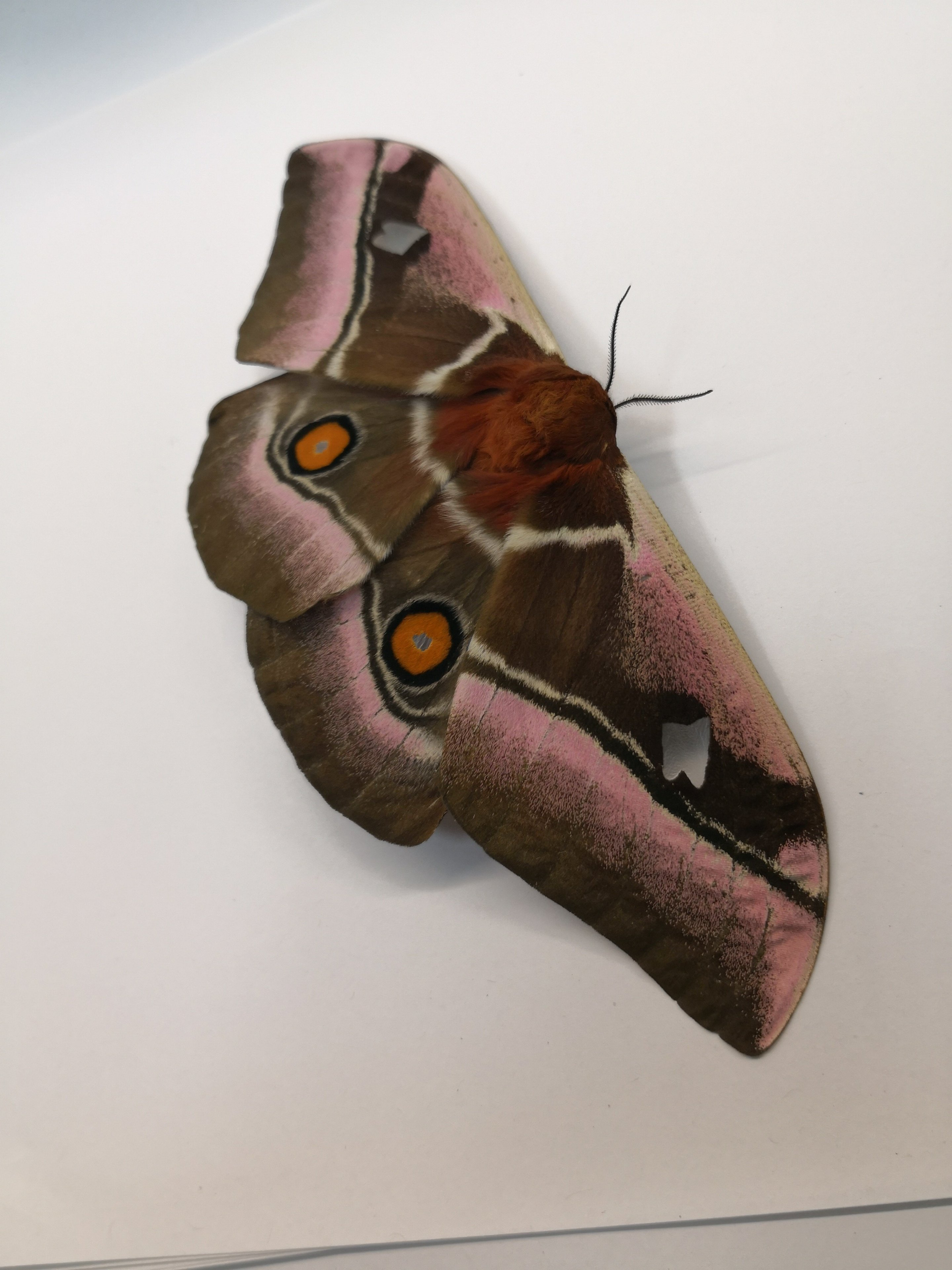 Owlet Moths: Part 2 :: Florida Museum of Natural History |Deaf Icon Moth