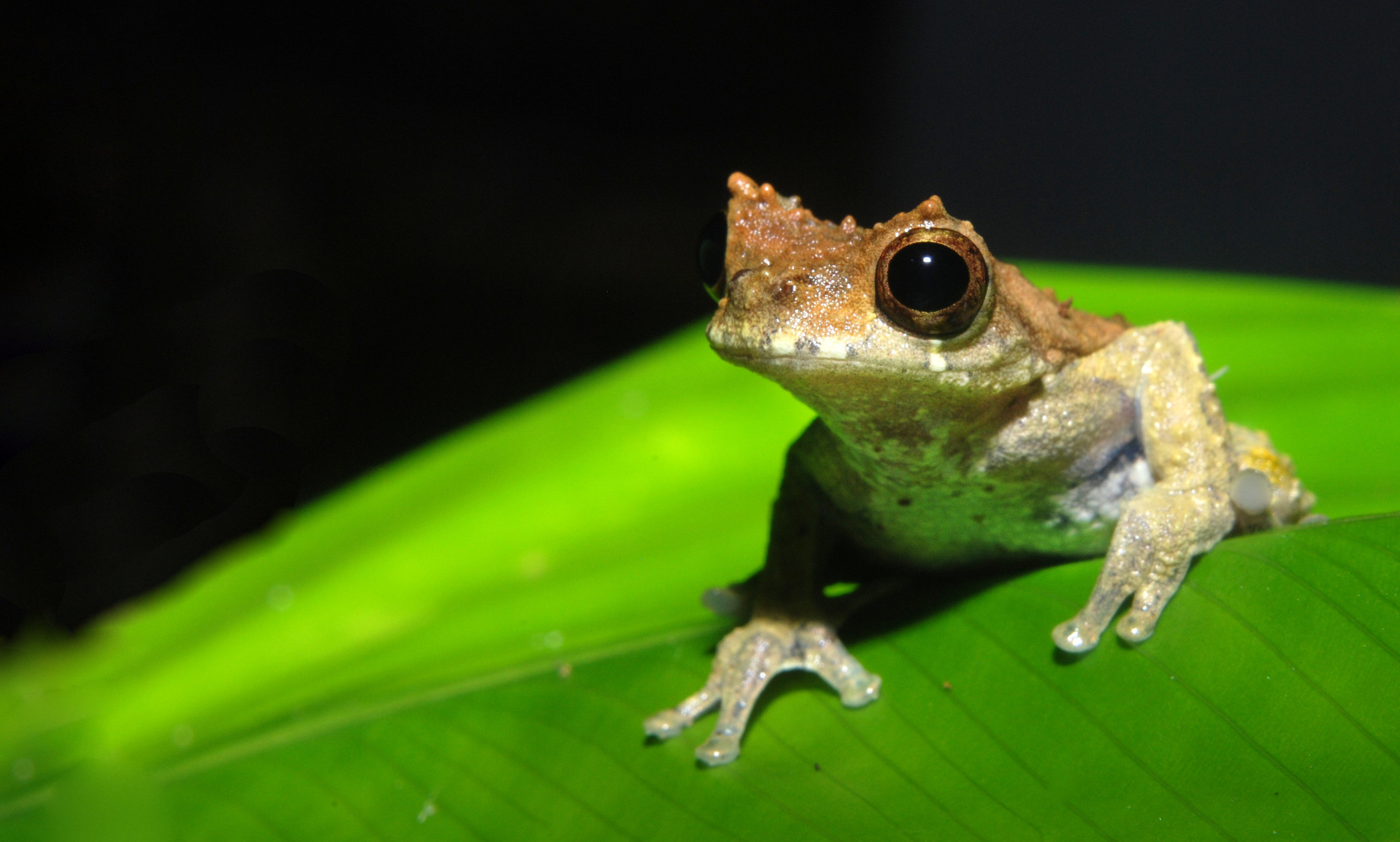 named after stanley kubrick a new species of frog is a clockwork