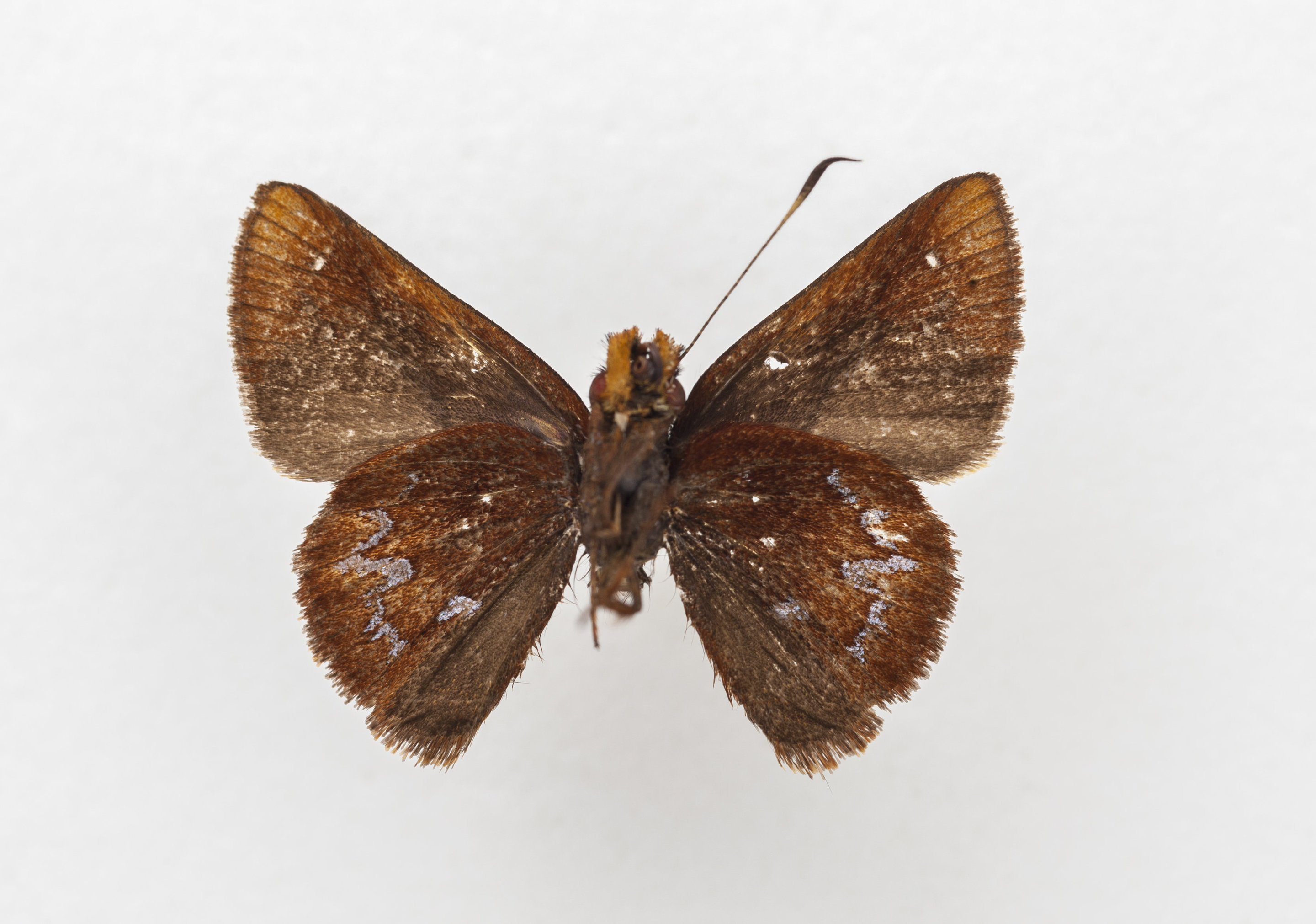 new butterfly species named for field museum s emily graslie