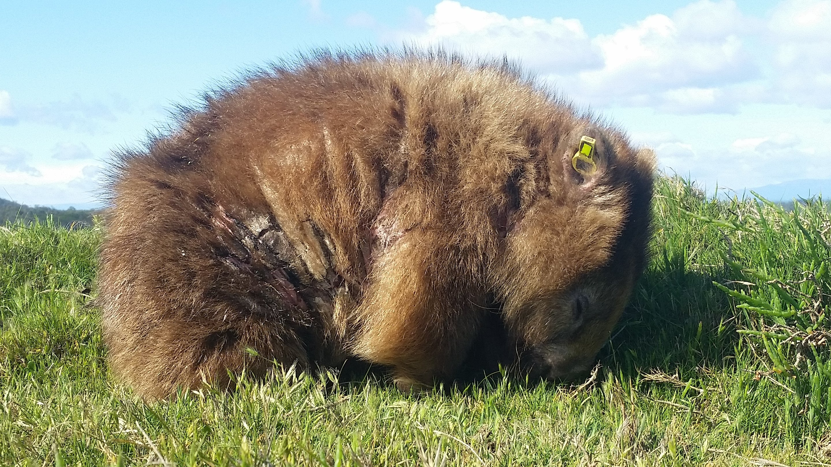 new findings to help in the fight against wombat mange