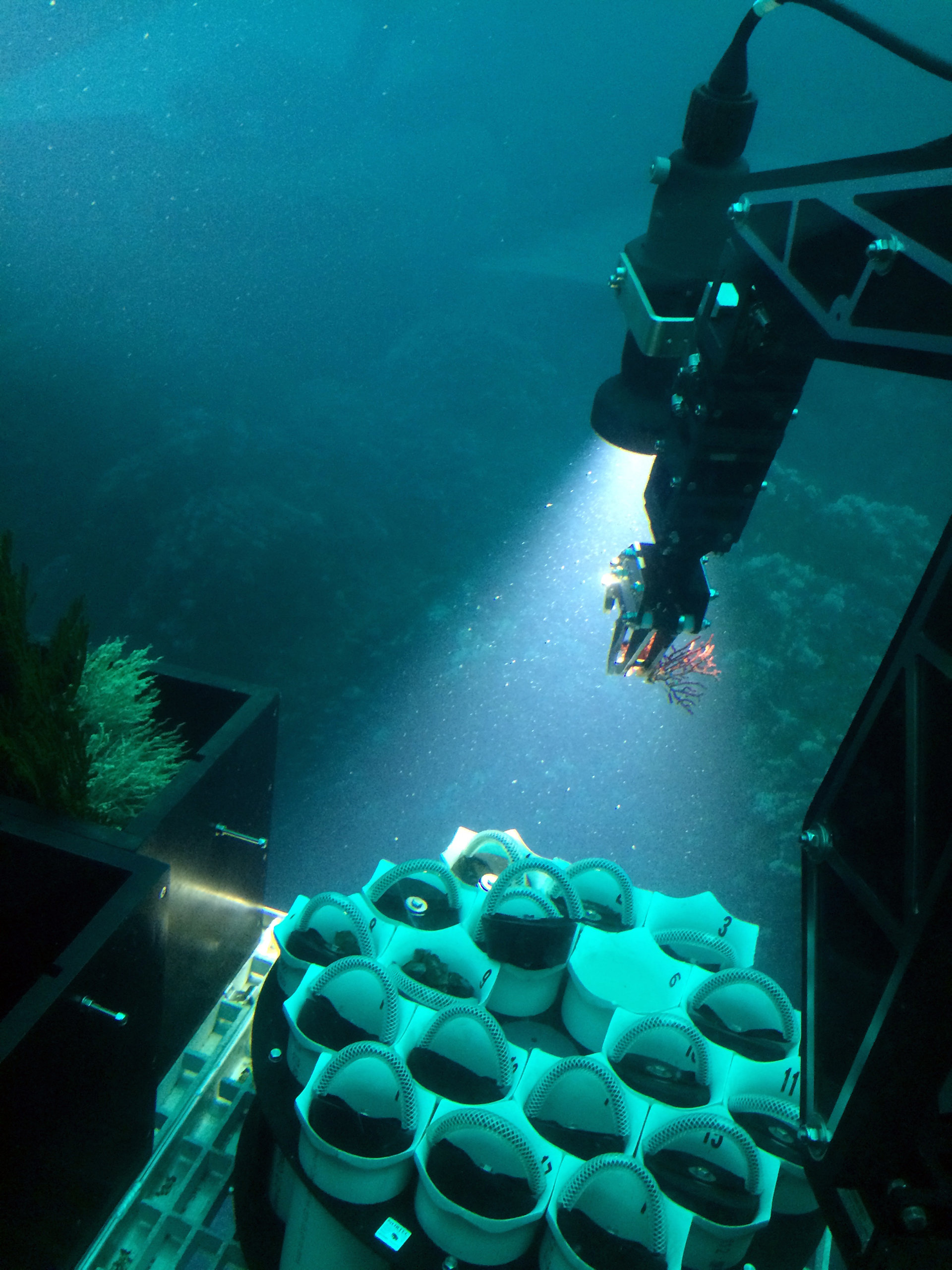 photo image New soft coral species discovered in Panama
