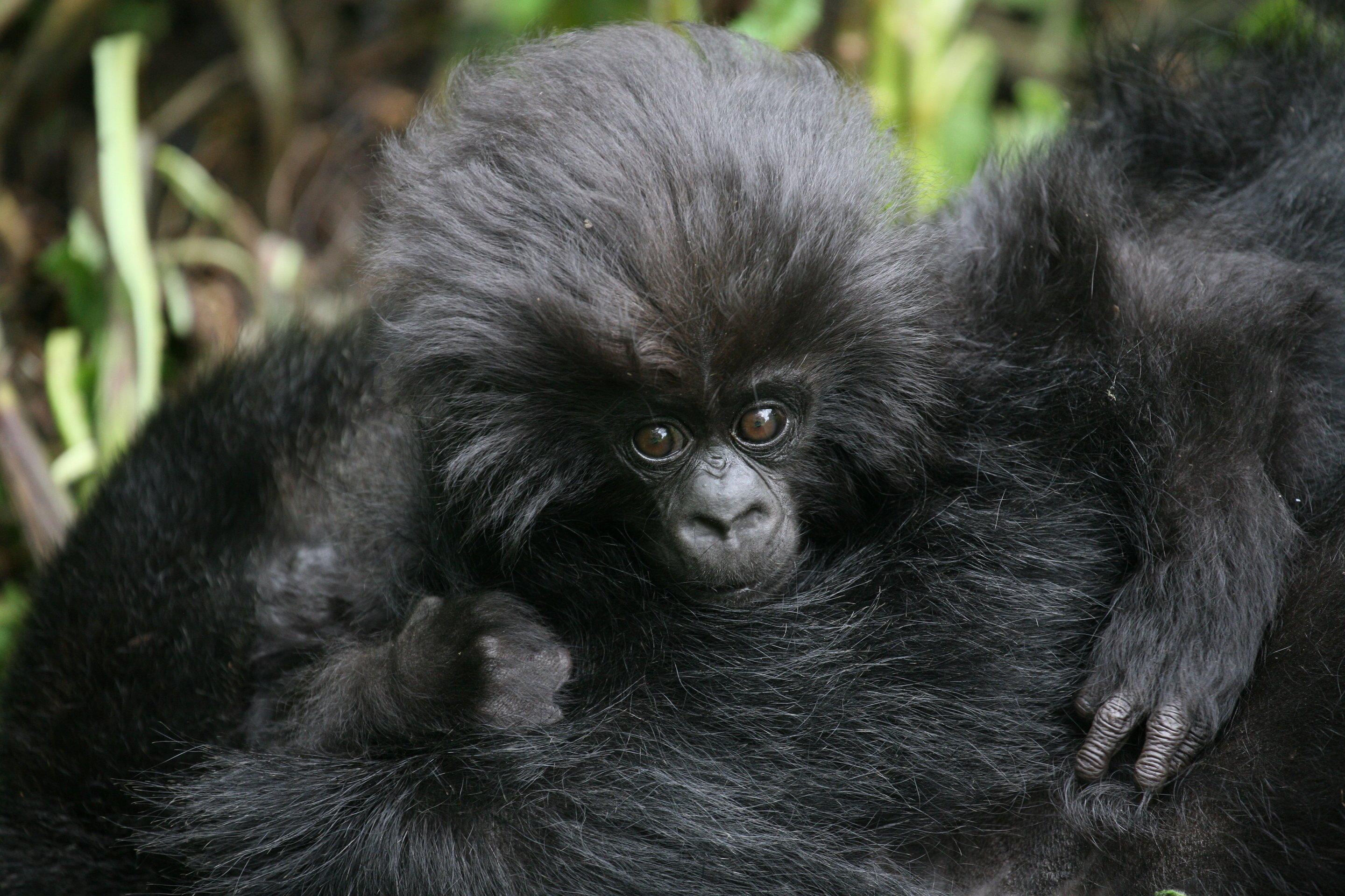 number of wild mountain gorillas exceeds 1 000