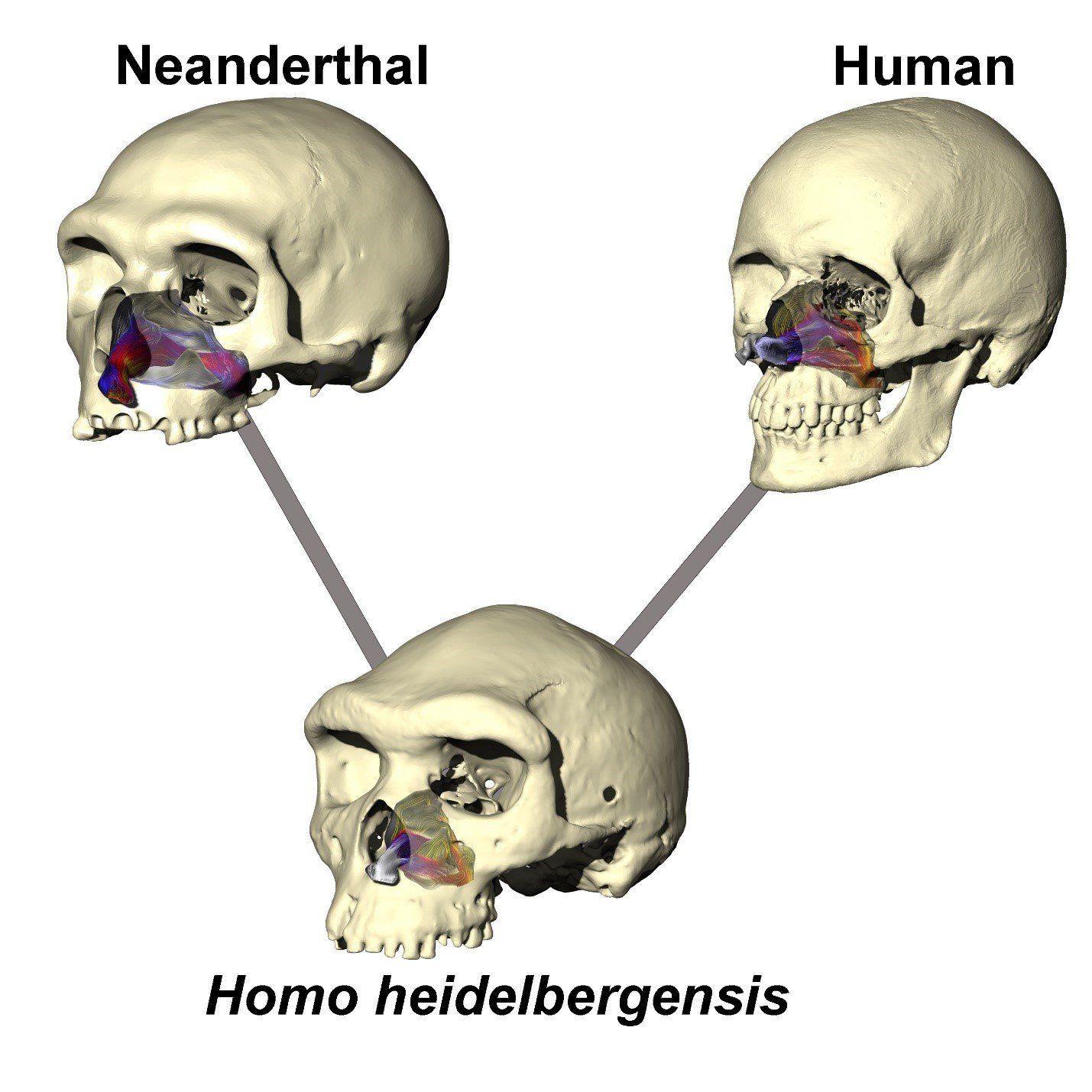 Neanderthal Nose All The Better To Breathe With