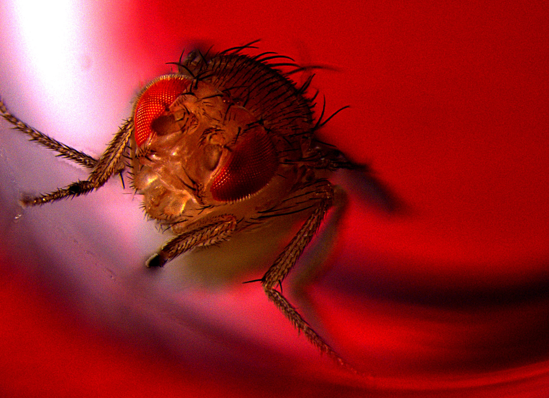 Optogenetic Study Shows That Male Flies Find Ejaculation -6142