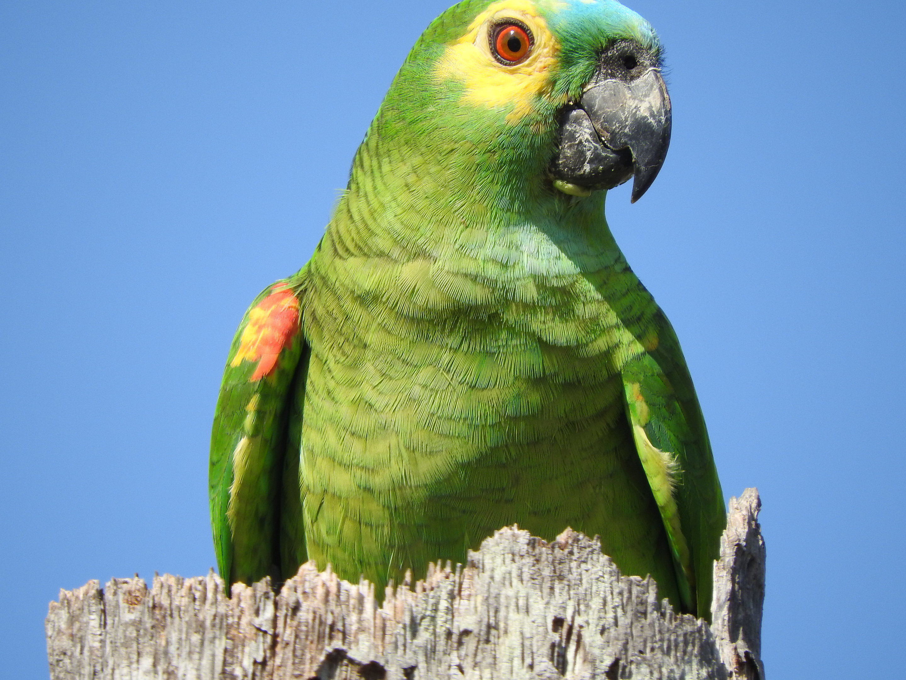 pics How to Know if an Amazon Parrot Is Right for You