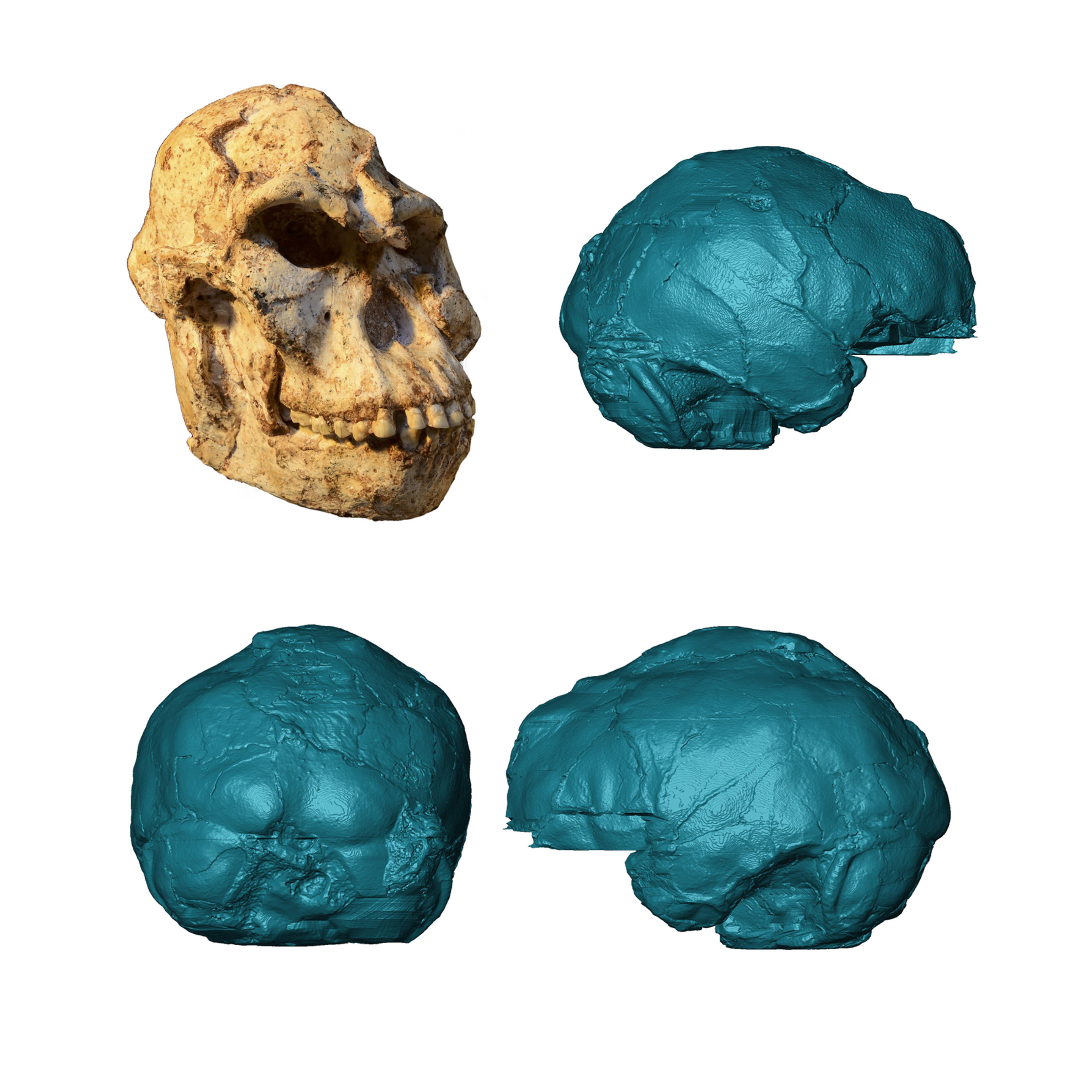 """Virtual rendering of the brain endocast of """"Little Foot"""". Photo of the  original skull by M. Lotter and R.J. Clarke. Credit: Wits University"""