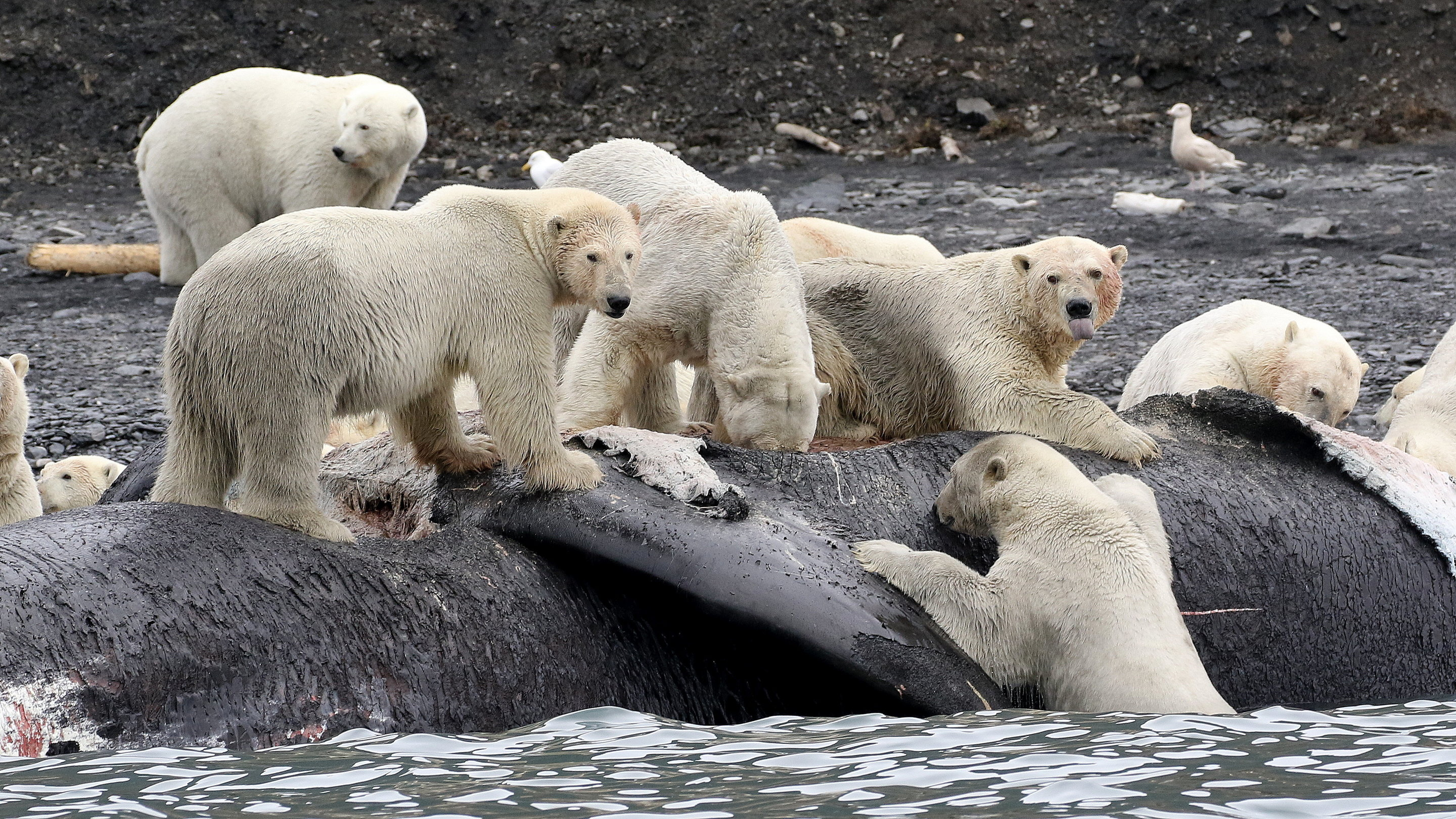 WRANGEL ISLAND. WHAT WHITE BEARS EAT 41