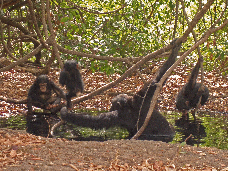 photo image Savanna chimpanzees suffer from heat stress