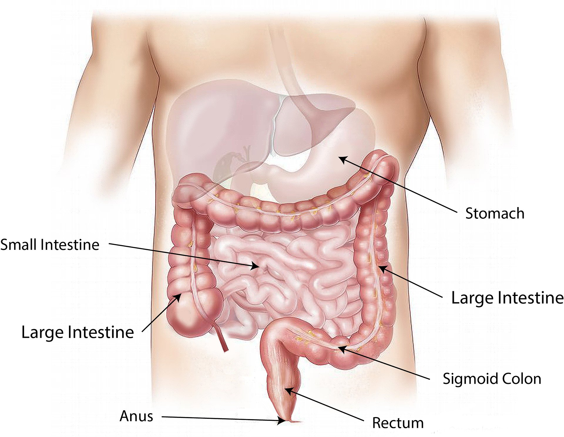 Unexpected findings prompt re-evaluation of how the intestine ...
