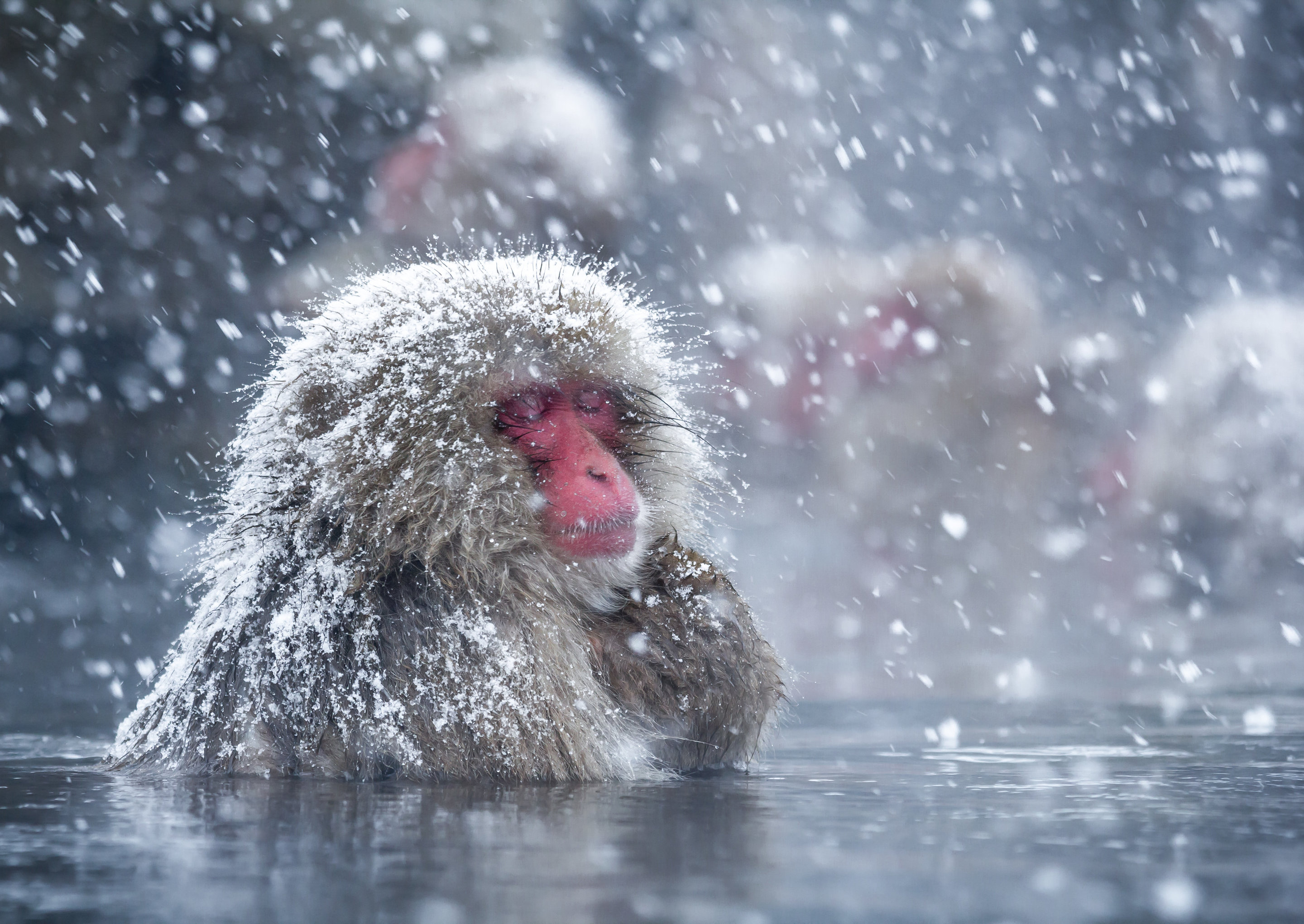 Spa therapy helps Japan's snow monkeys cope with the cold - photo#20