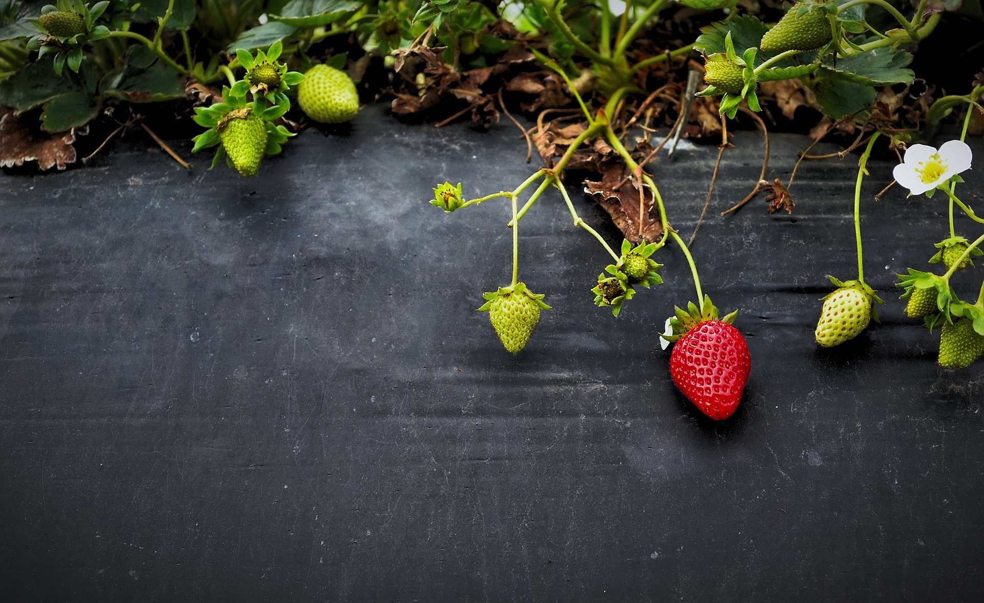Strawberry Jumping Genes Drive Chromosome Changes In Strawberries September University Of Pittsburgh Credit Cc Public Domain