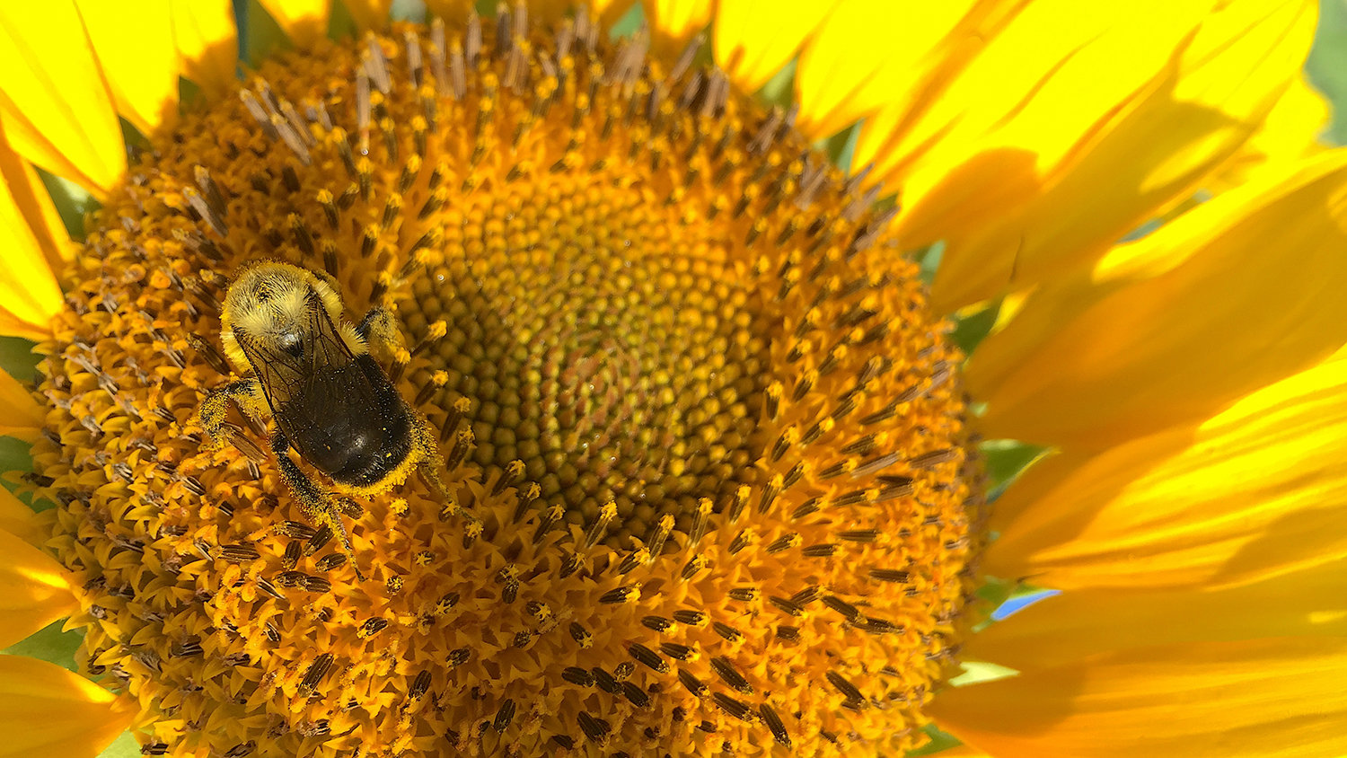 sunflower pollen has medicinal protective effects on bees