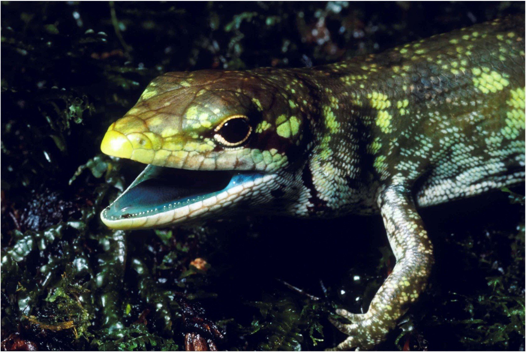 photo image The mystery of lime-green lizard blood