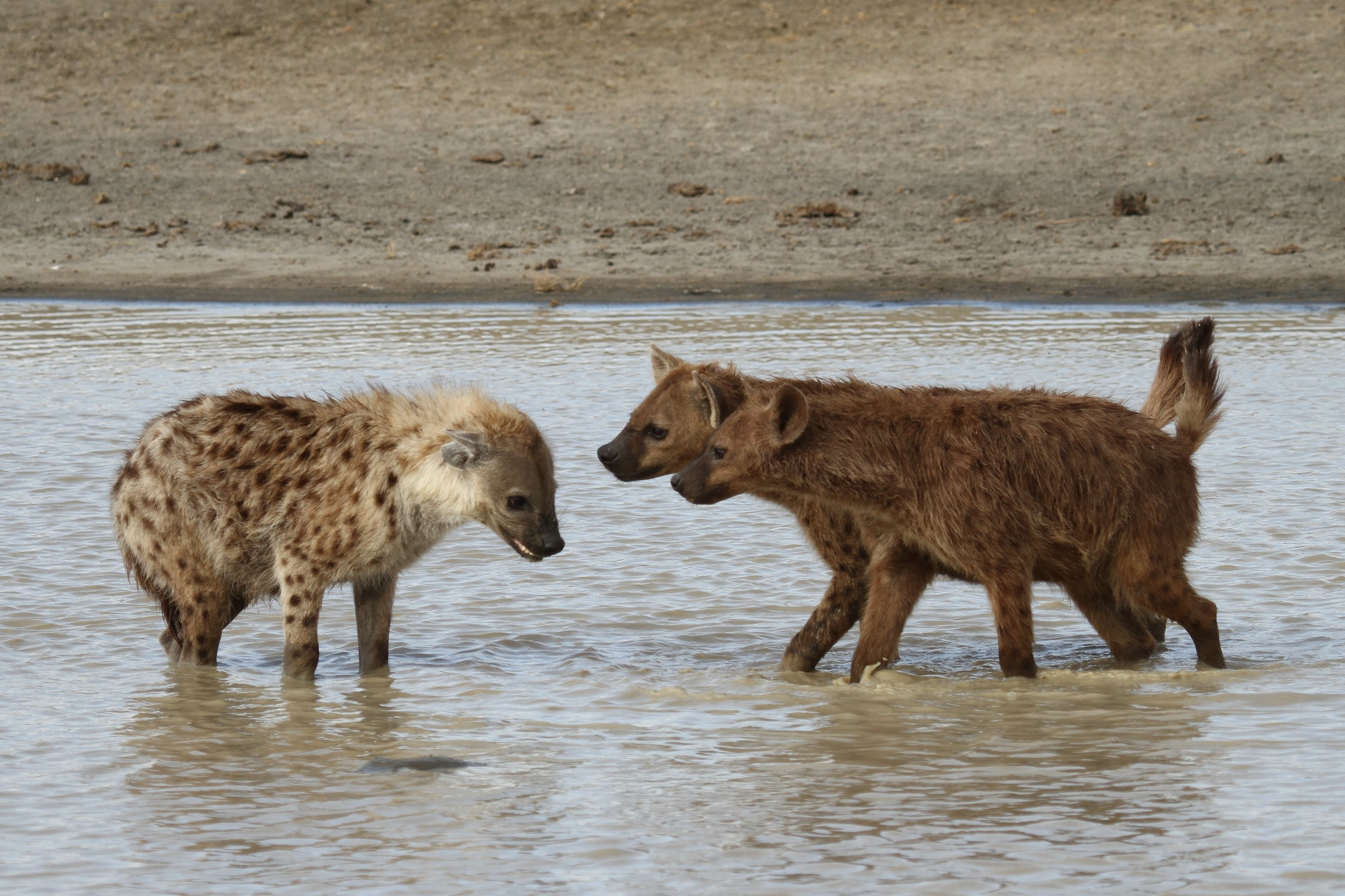 How female hyaenas came to dominate males