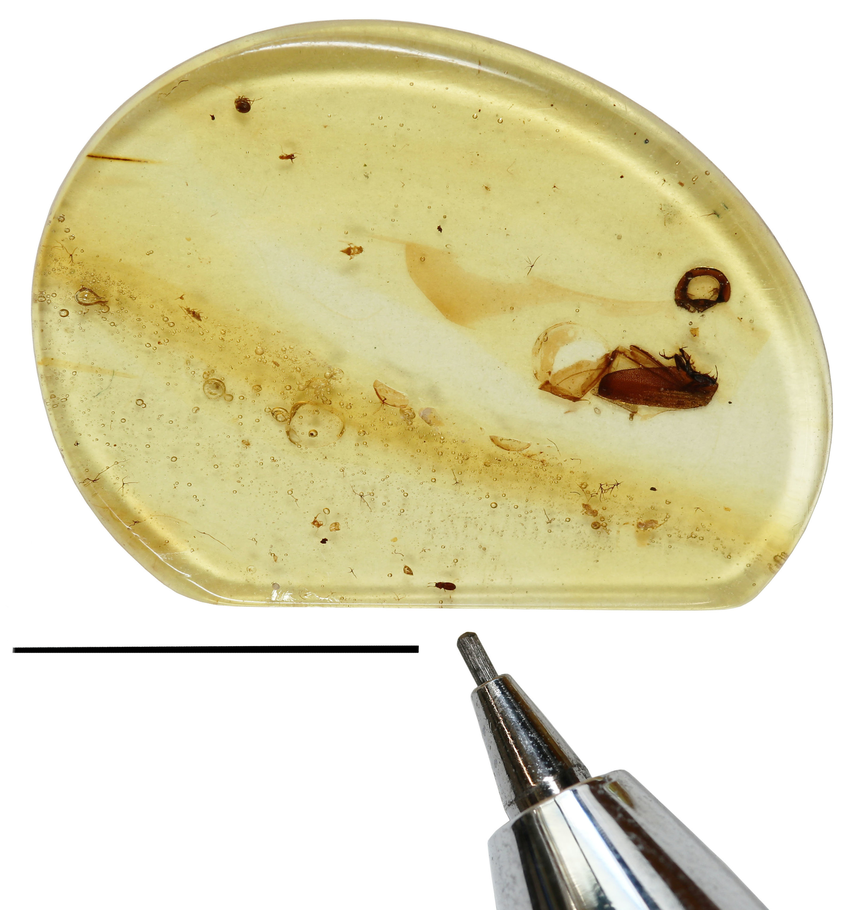 The Amber Sample With New Beetle Trapped Inside Is Tiny Speck Indicated By Tip Of A Mechanical Pencil For Scale