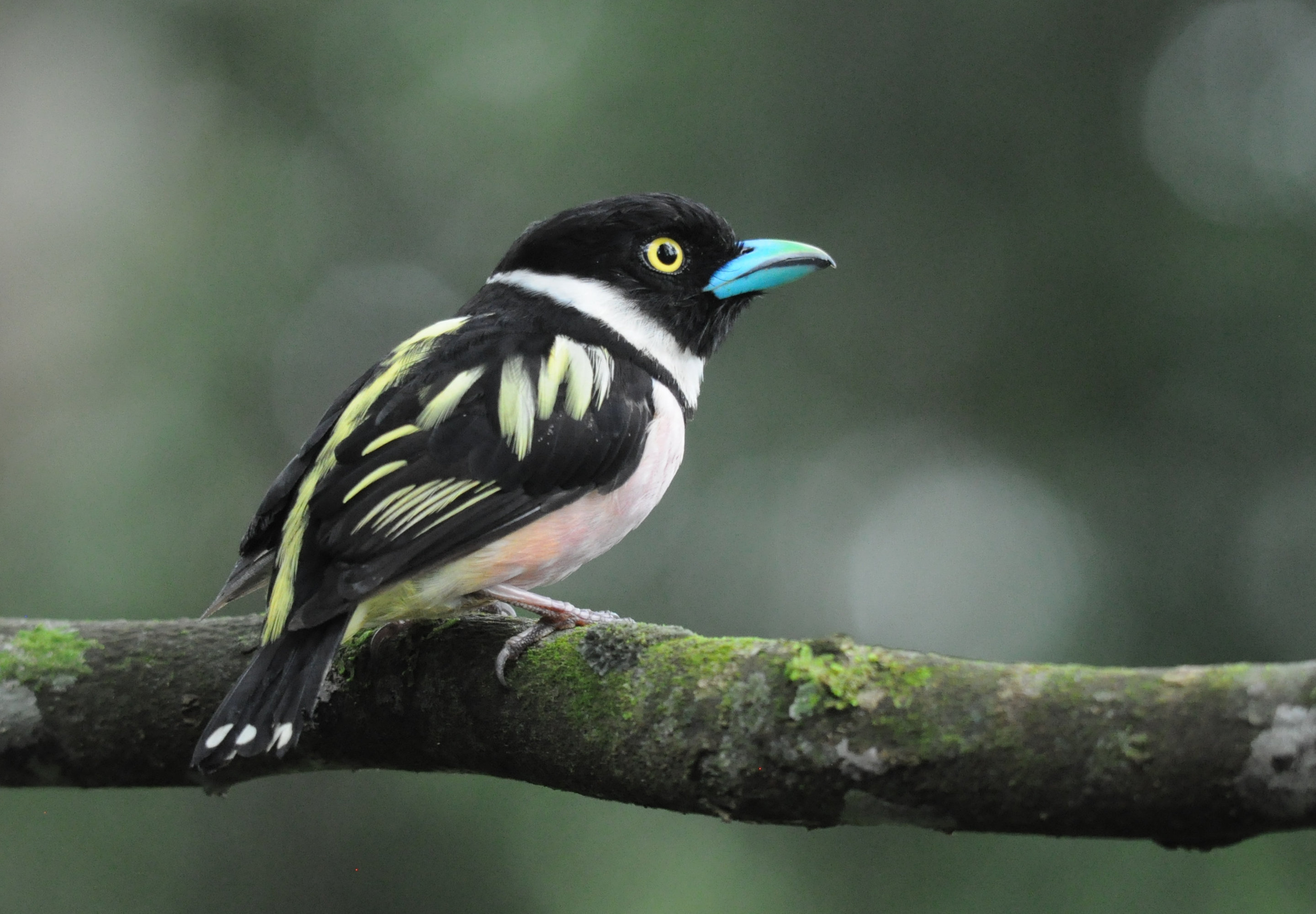 Tropical Birds Benefit From More Forest By Rivers In Oil Palm Areas