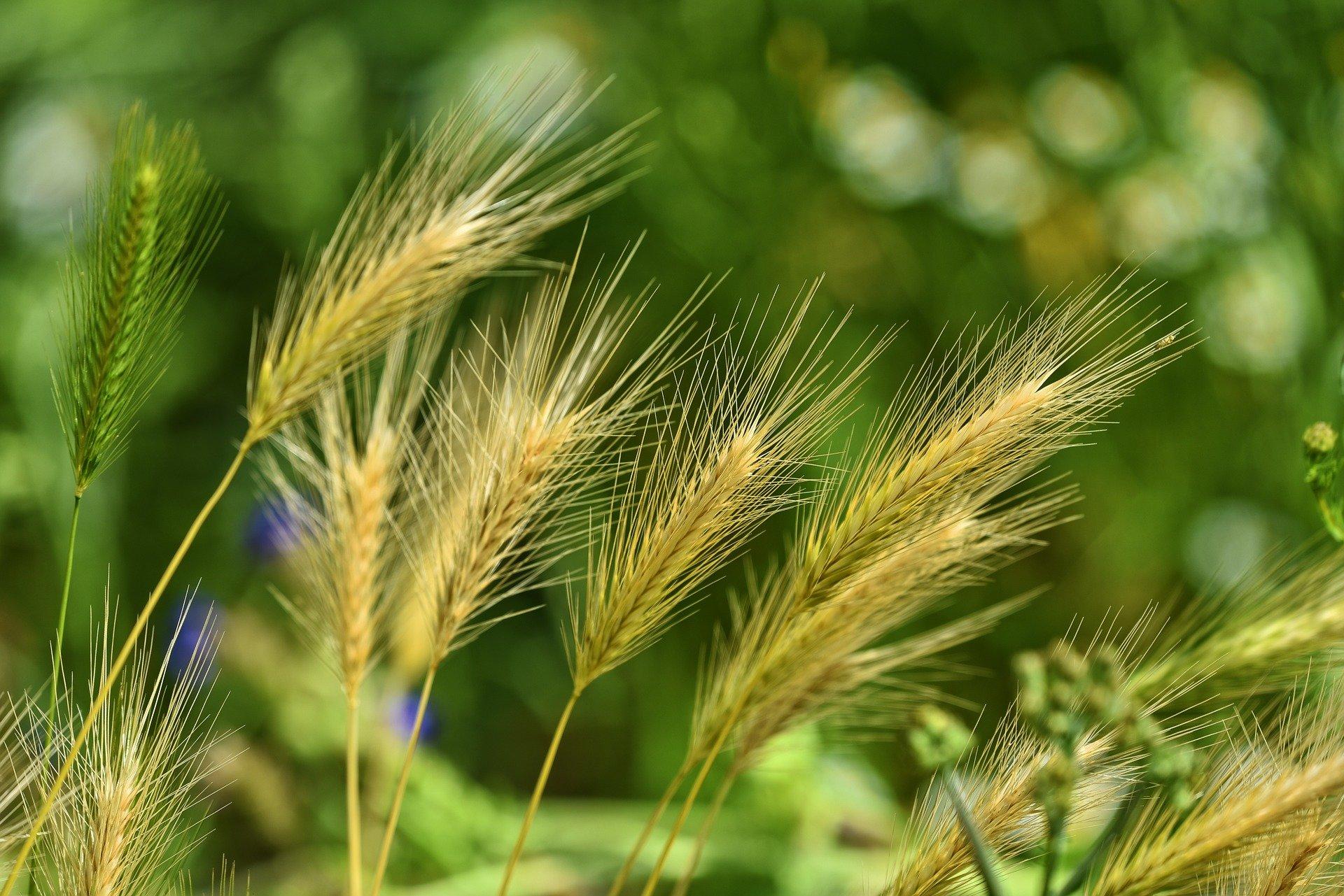 researchers confirm glyphosate resistance in junglerice