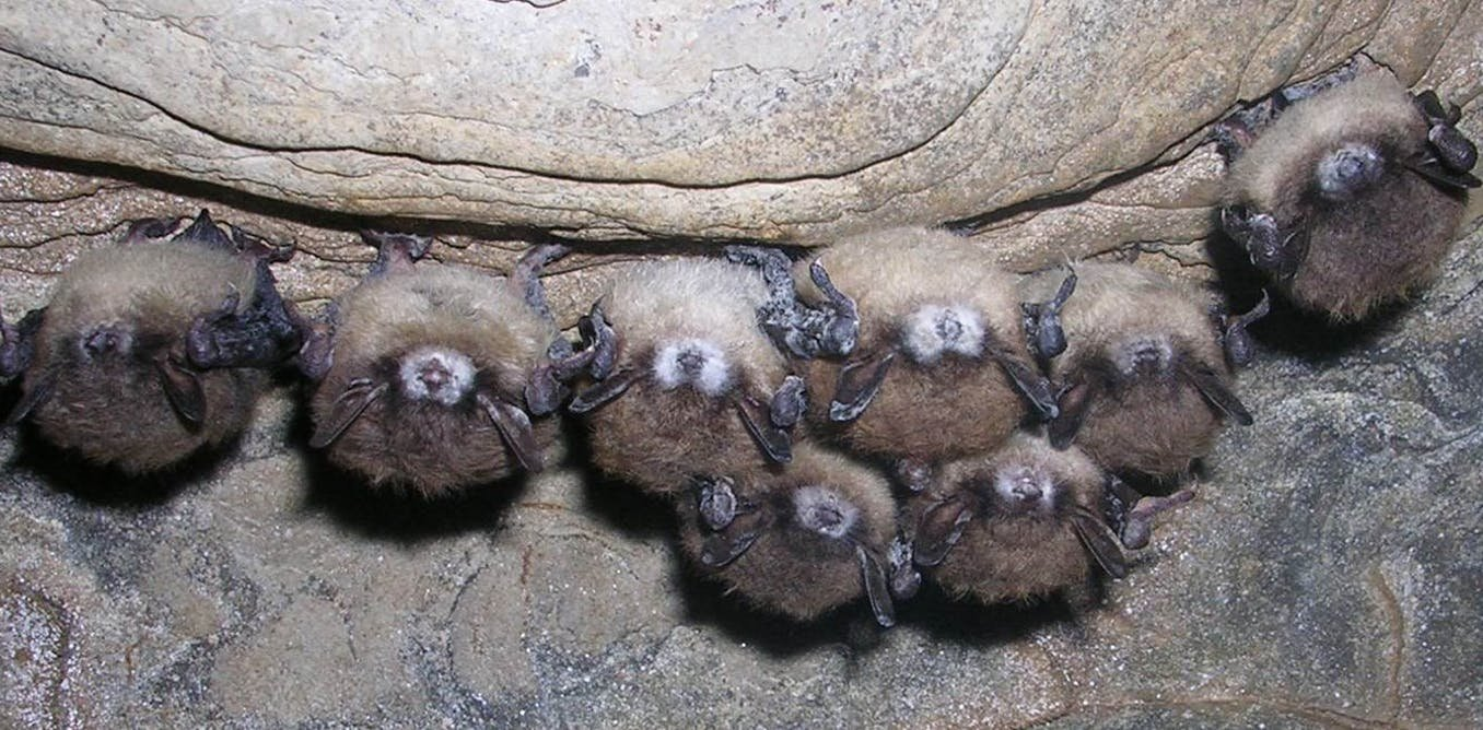 Are little brown bats developing resistance to white-nose syndrome?
