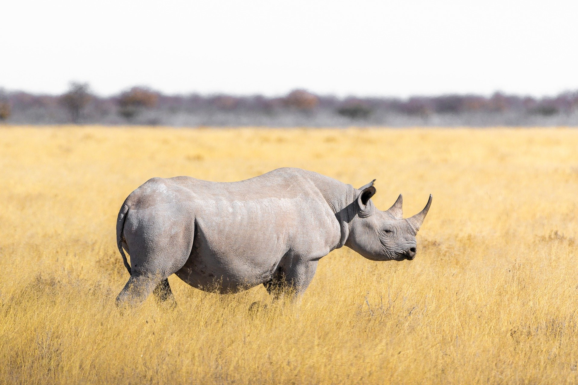 N White Rhino Genetic study shows wh...