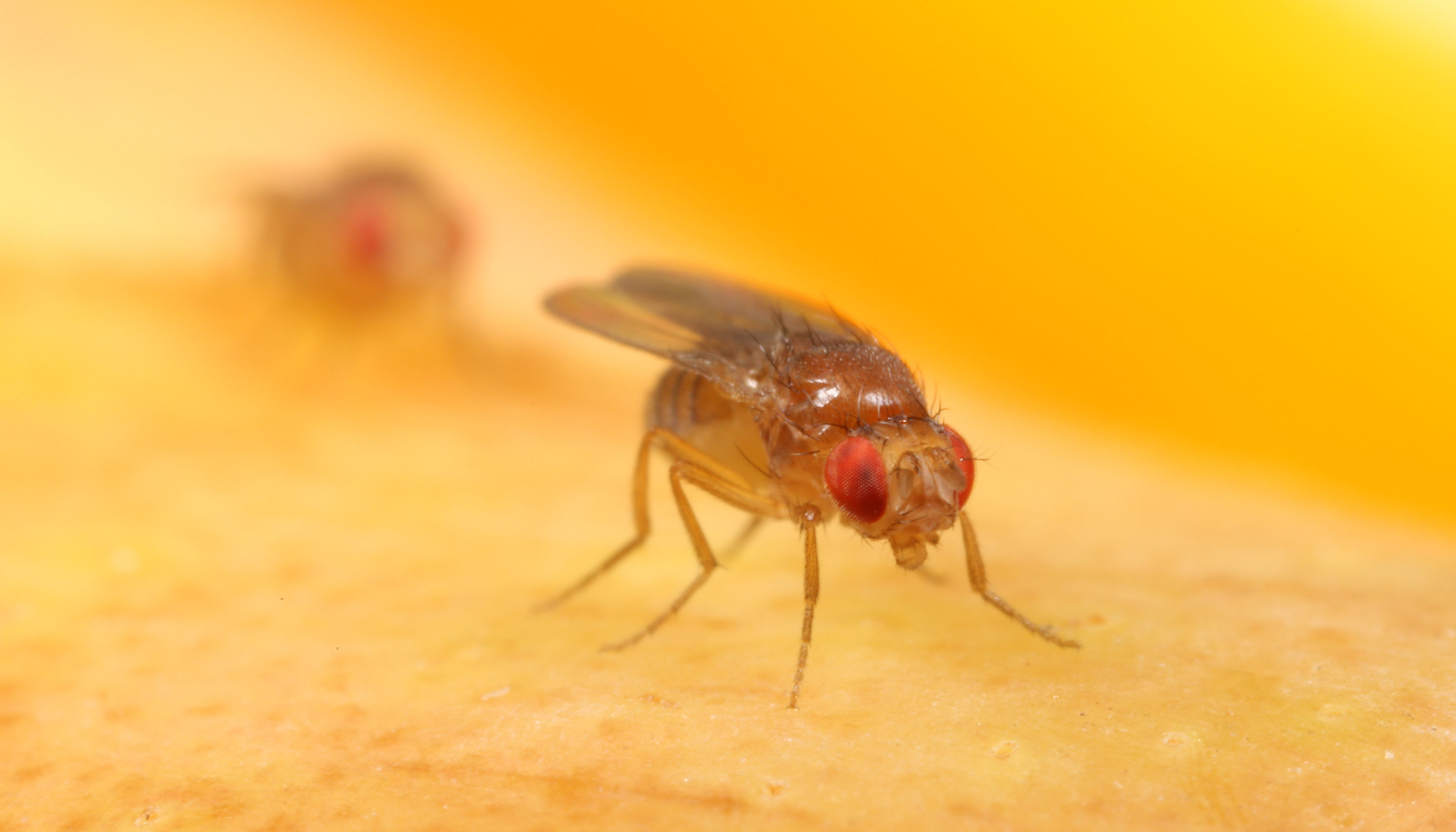 photo image Wild African fruit flies offer clues to their modern-day domestic life