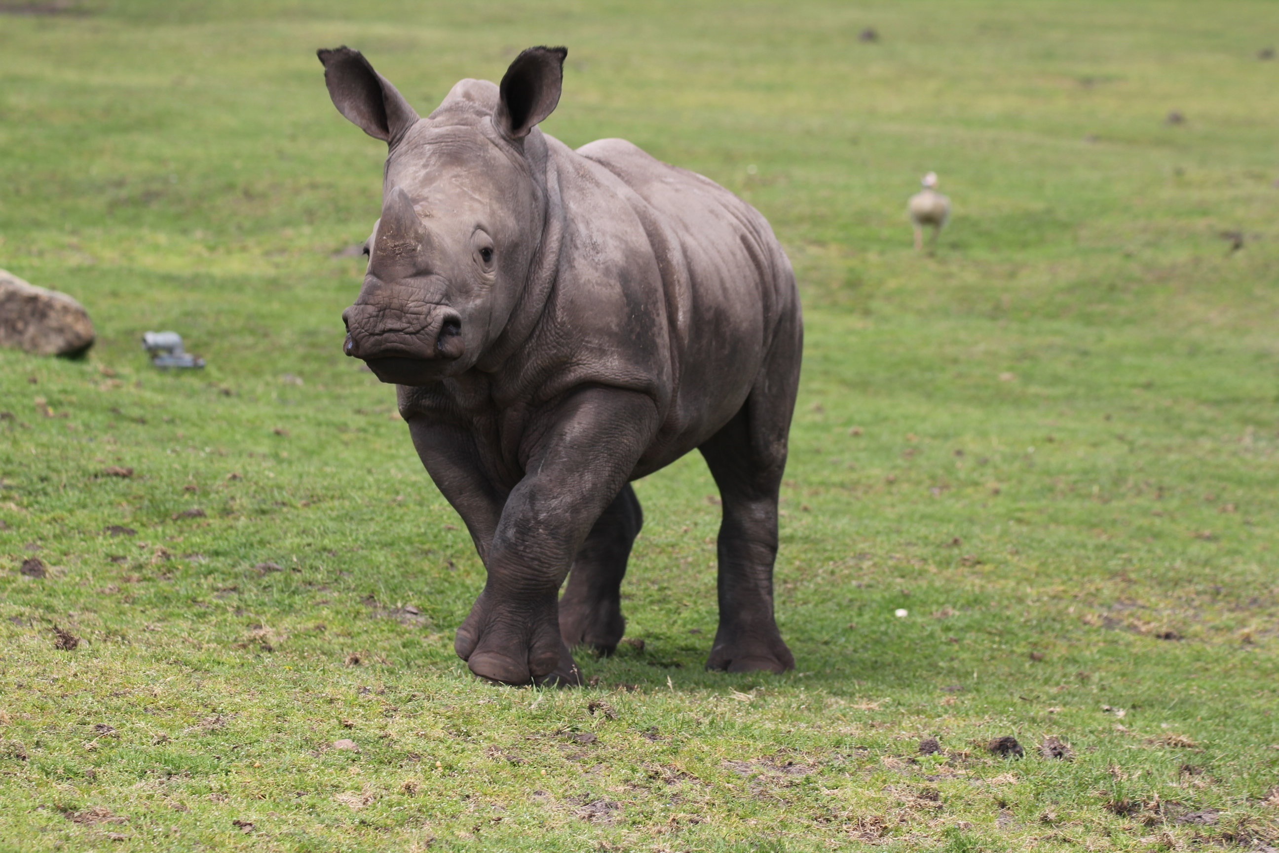 White rhino: habitat, description, lifestyle features 92