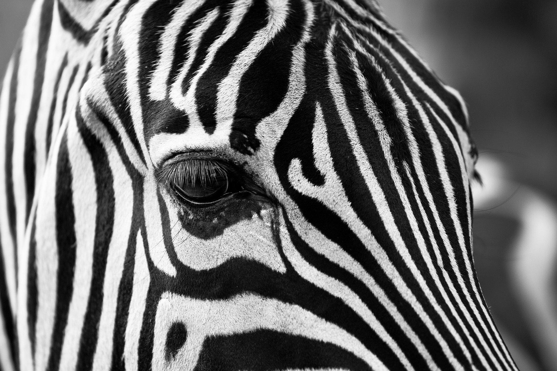'Zebra' tribal bodypaint cuts fly bites 10-fold: study
