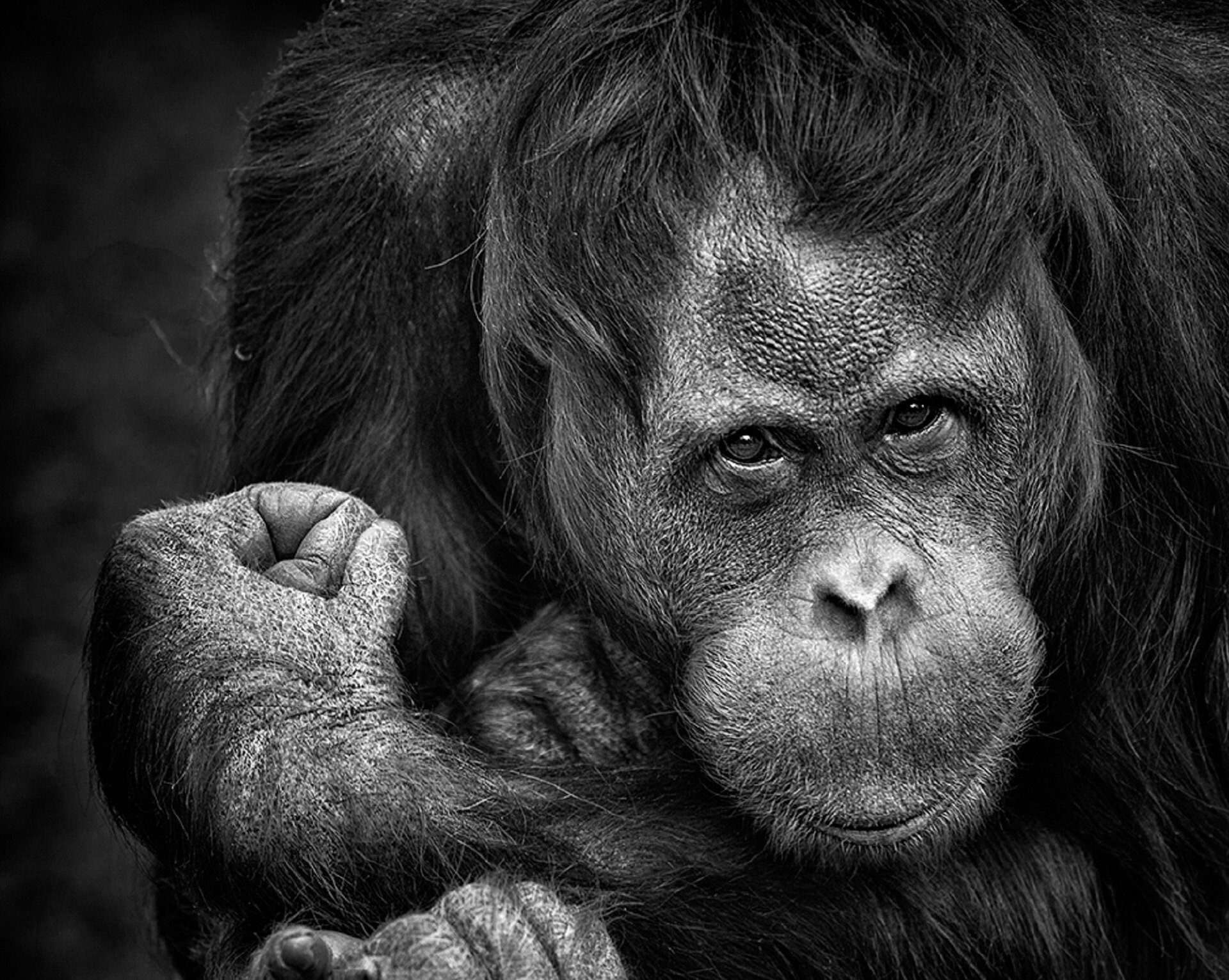 Chimp communication gestures found to follow human linguistics rules