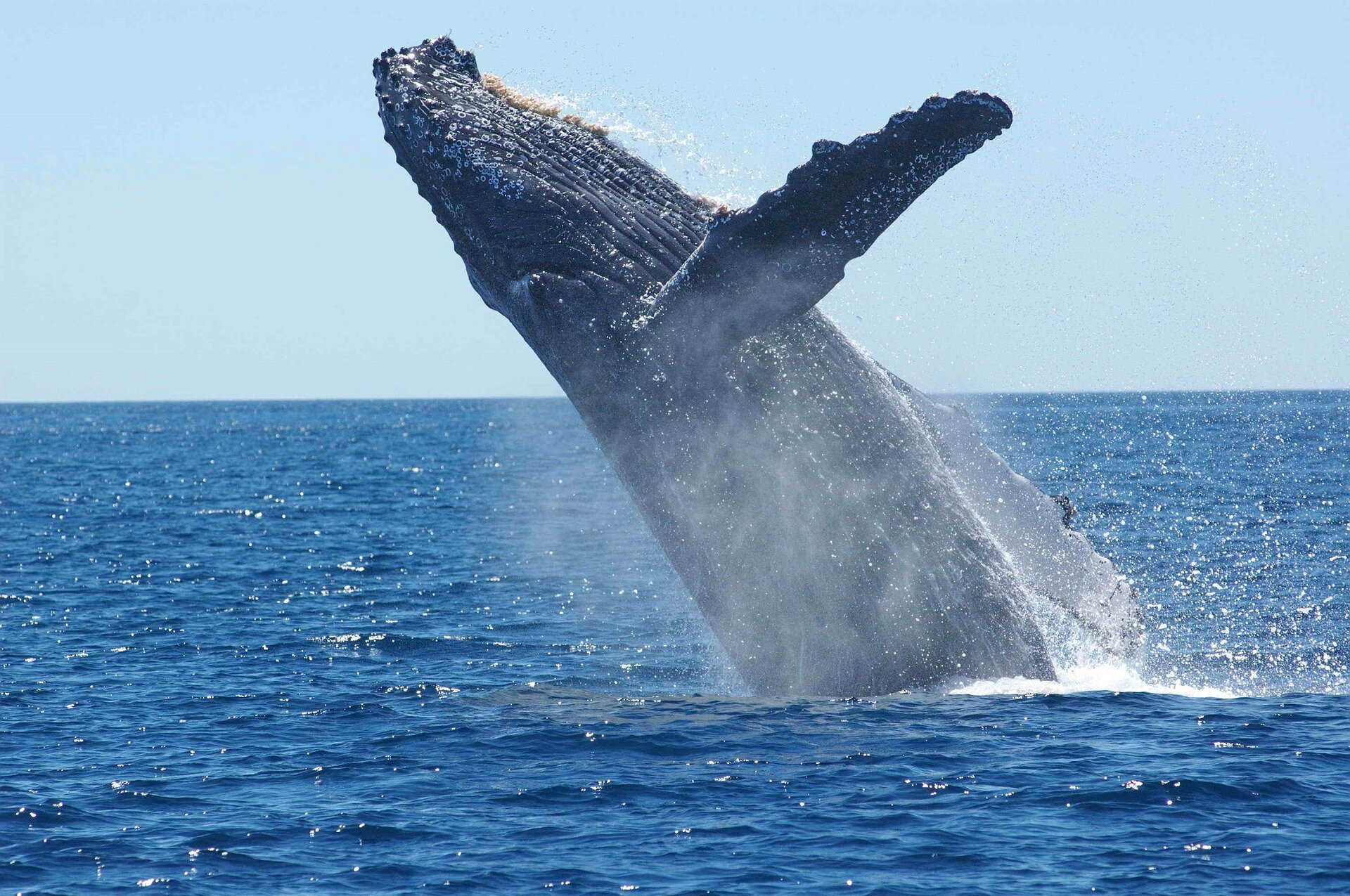 Temperature blob in Pacific Ocean gives a glimpse of climate impact on humpback whales