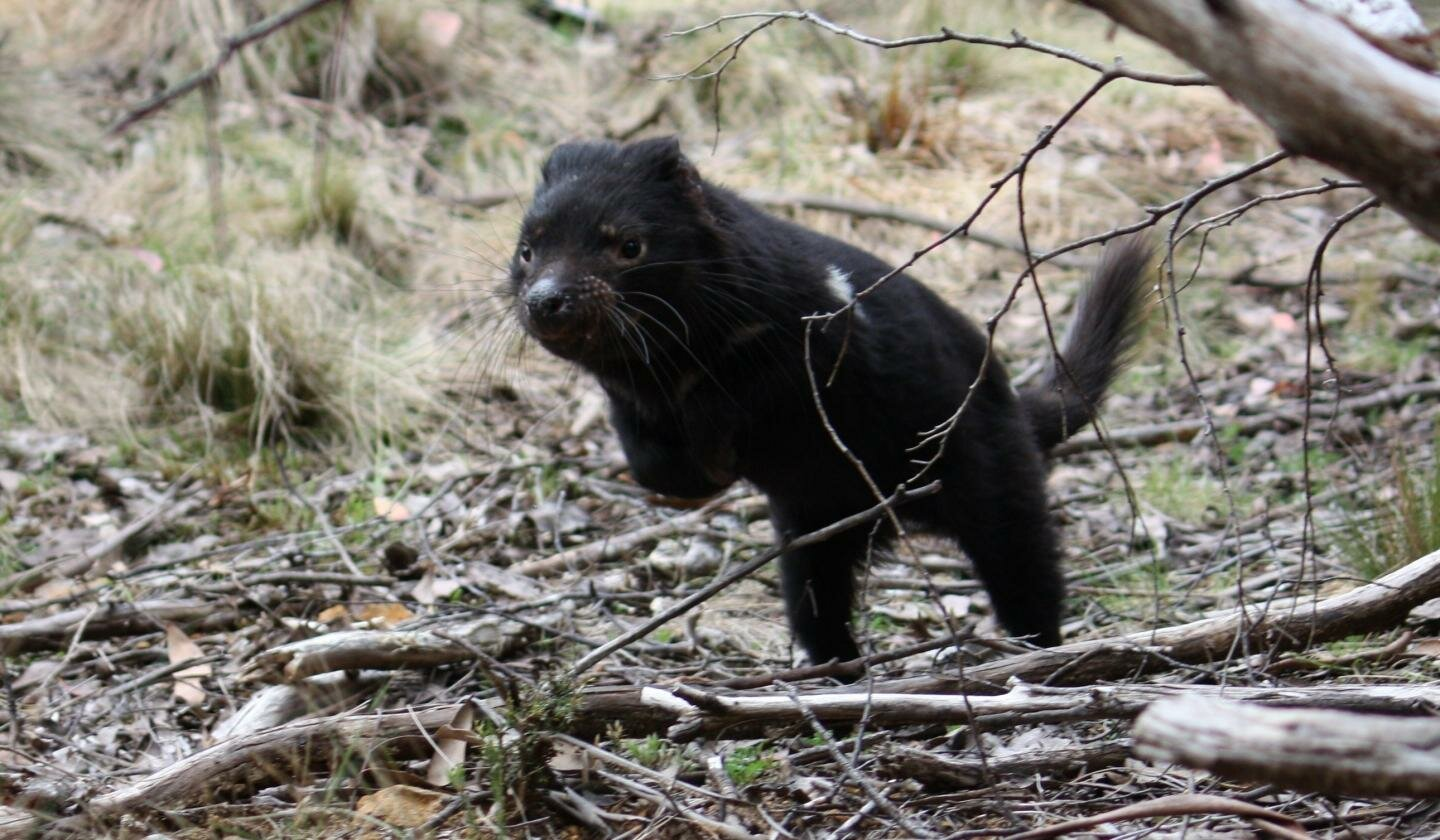 photo of Tasmanian devil cancer unlikely to cause extinction, say experts image