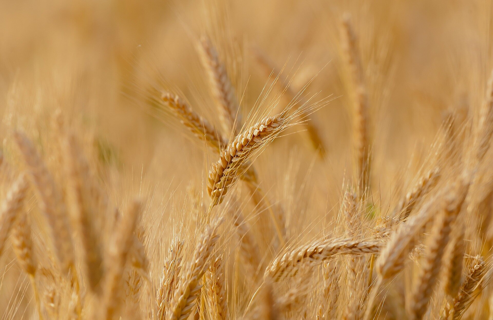 Discovery to help wheat cope with salty soils
