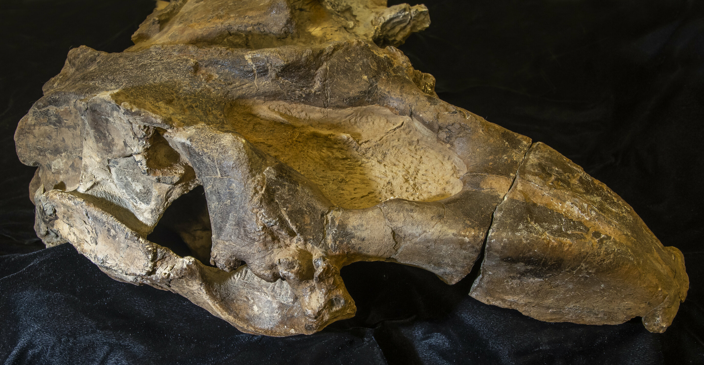 About 19-21 million years old, this dugong is the oldest marine mammal found in Central America and the first from the Pacific side of the Panama Canal. Here, the skull is seen from the side with the snout pointing to the right. Credit: Jeff Gage, Florida Museum