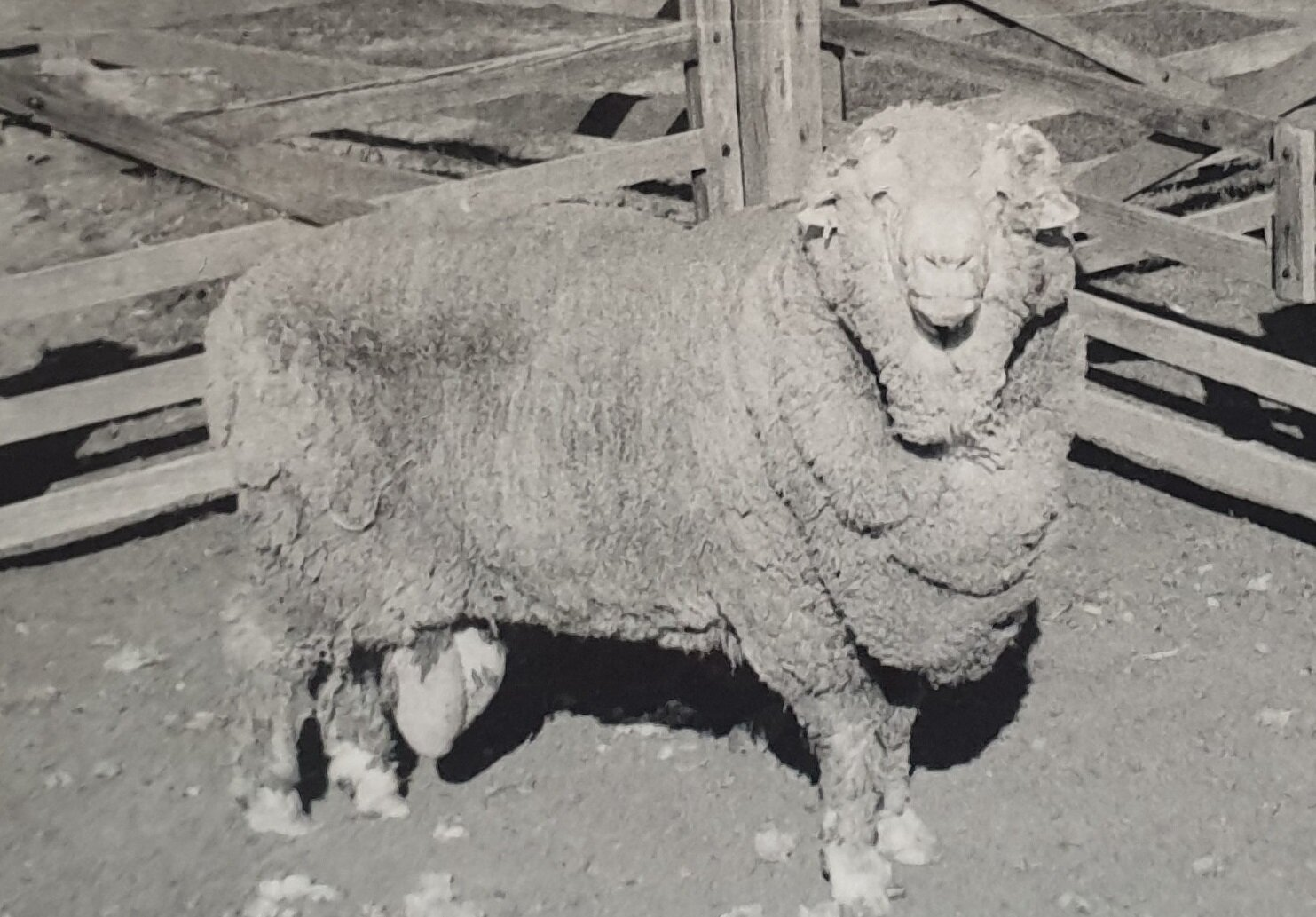 Ram sperm frozen for 50 years successfully used to impregnate 34 ewes