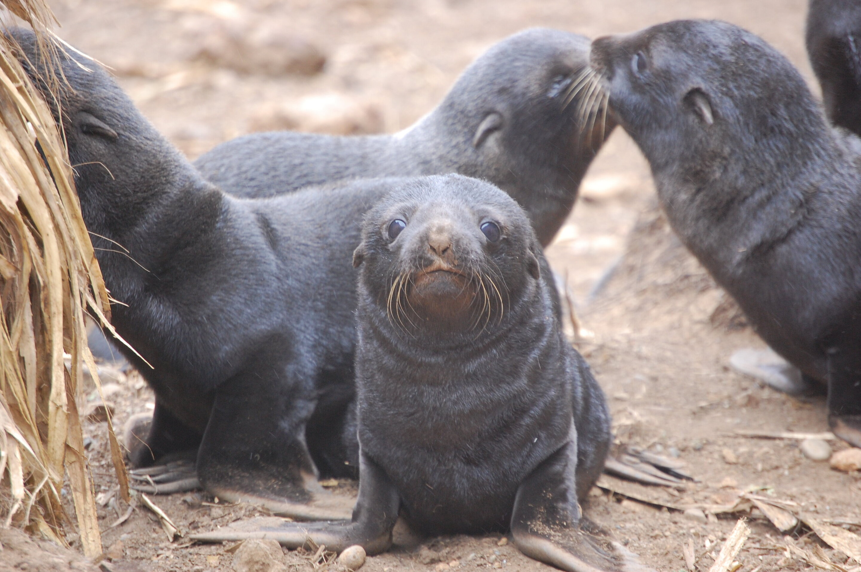 photo of New study shows climate change, maternal care, parasitic infection all connected in South American fur seals image