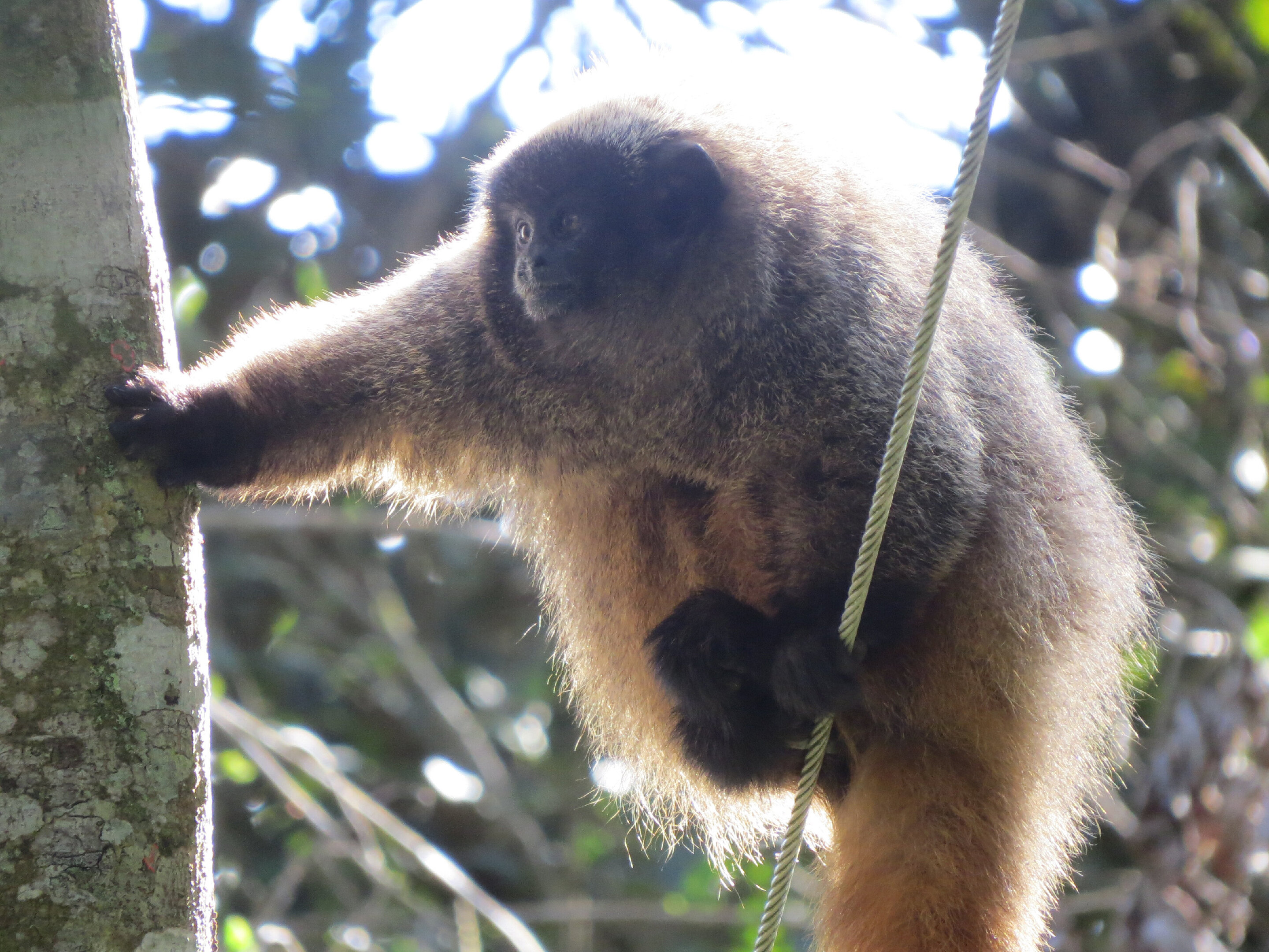 photo of Titi monkeys use probabilistic predator calls to alert others in their group image
