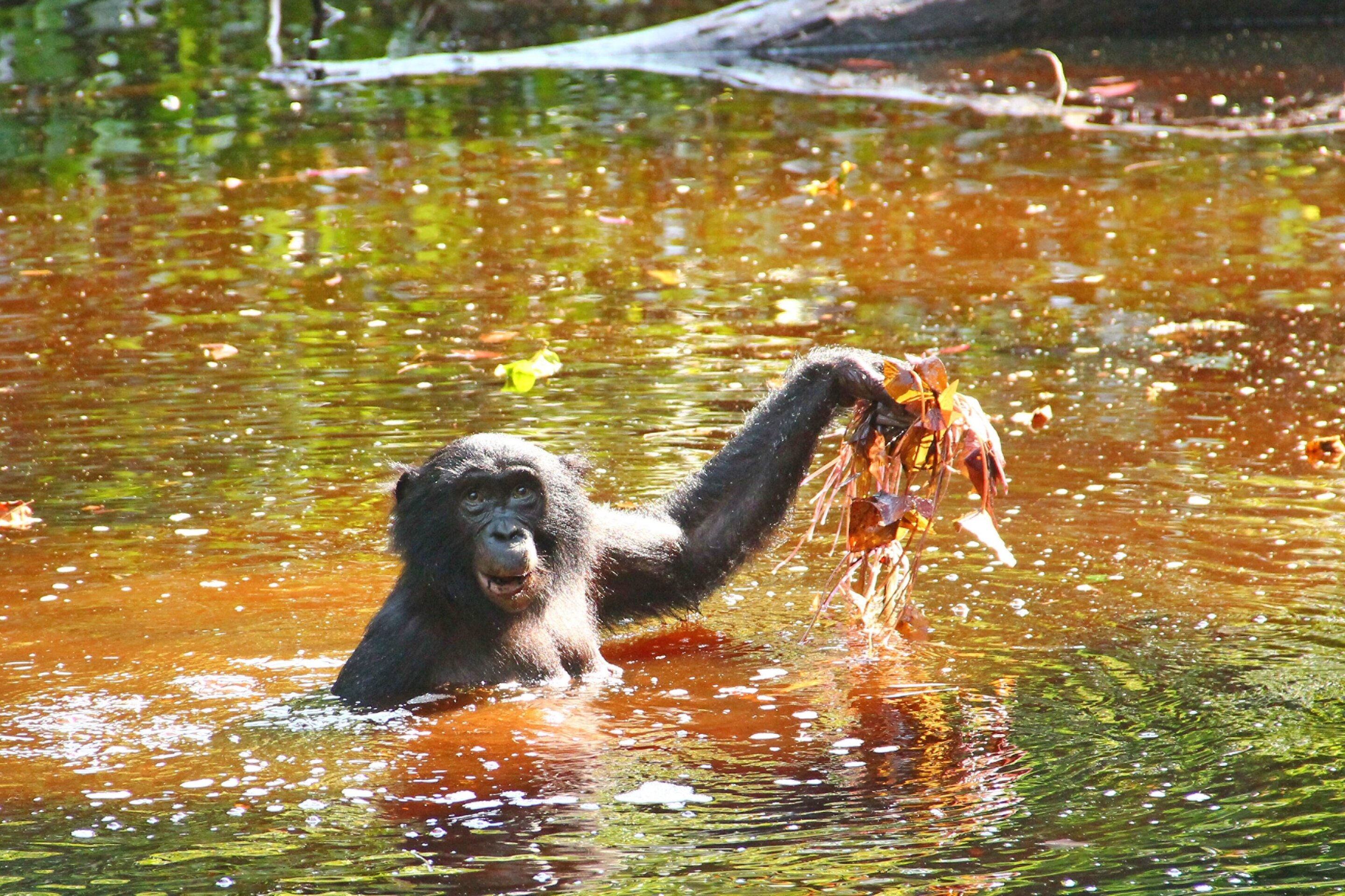 Bonobo diet of water greens might hold clues to human evolution - Phys.org thumbnail