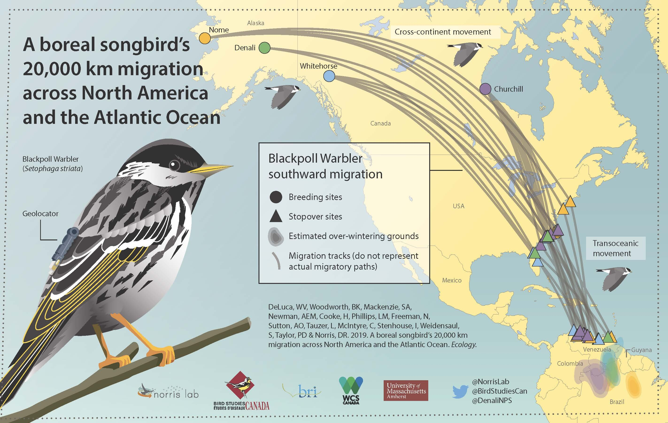 Across North America and the Atlantic, an enormous migration journey for a tiny songbird
