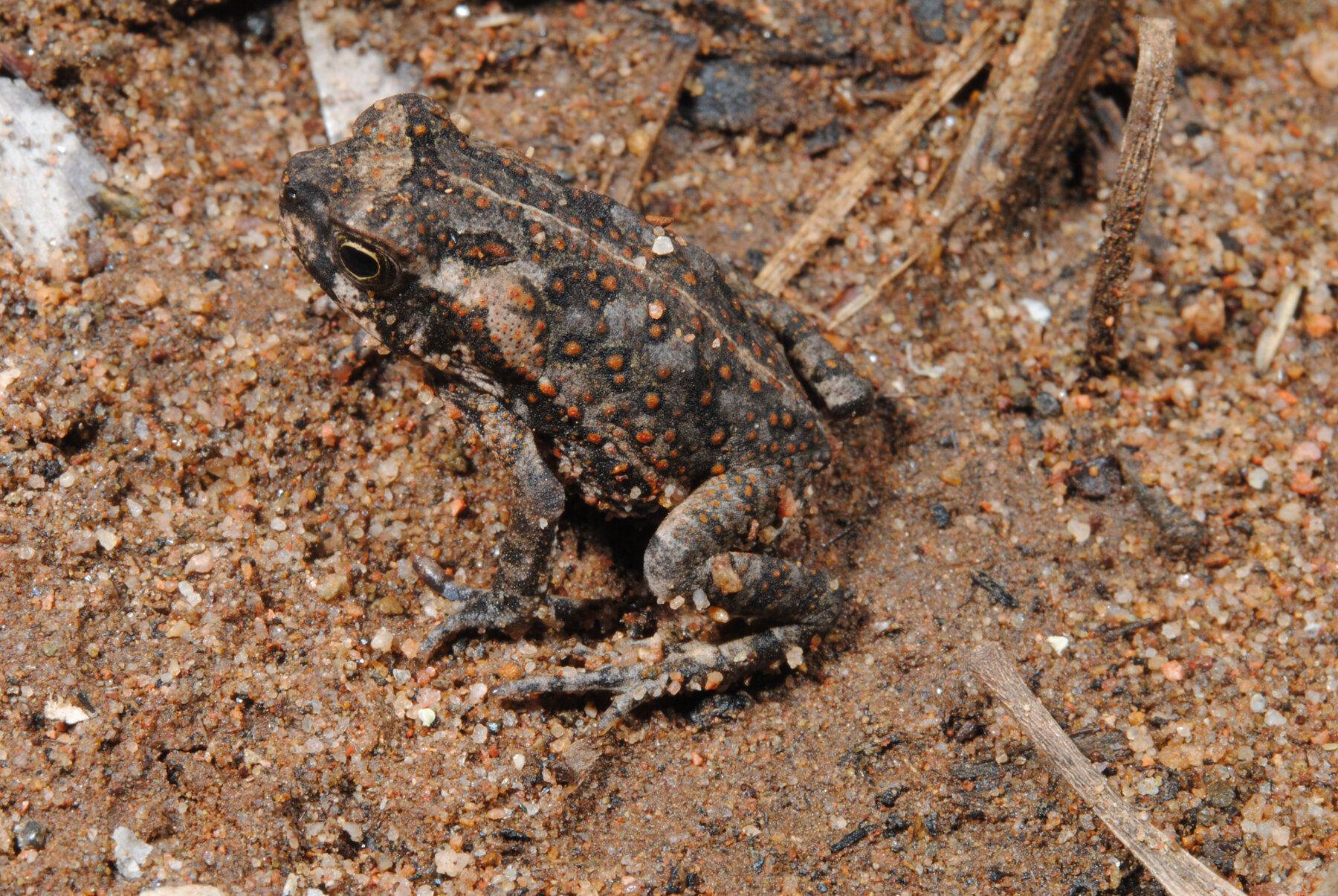 Cane toads: What they do in the shadows