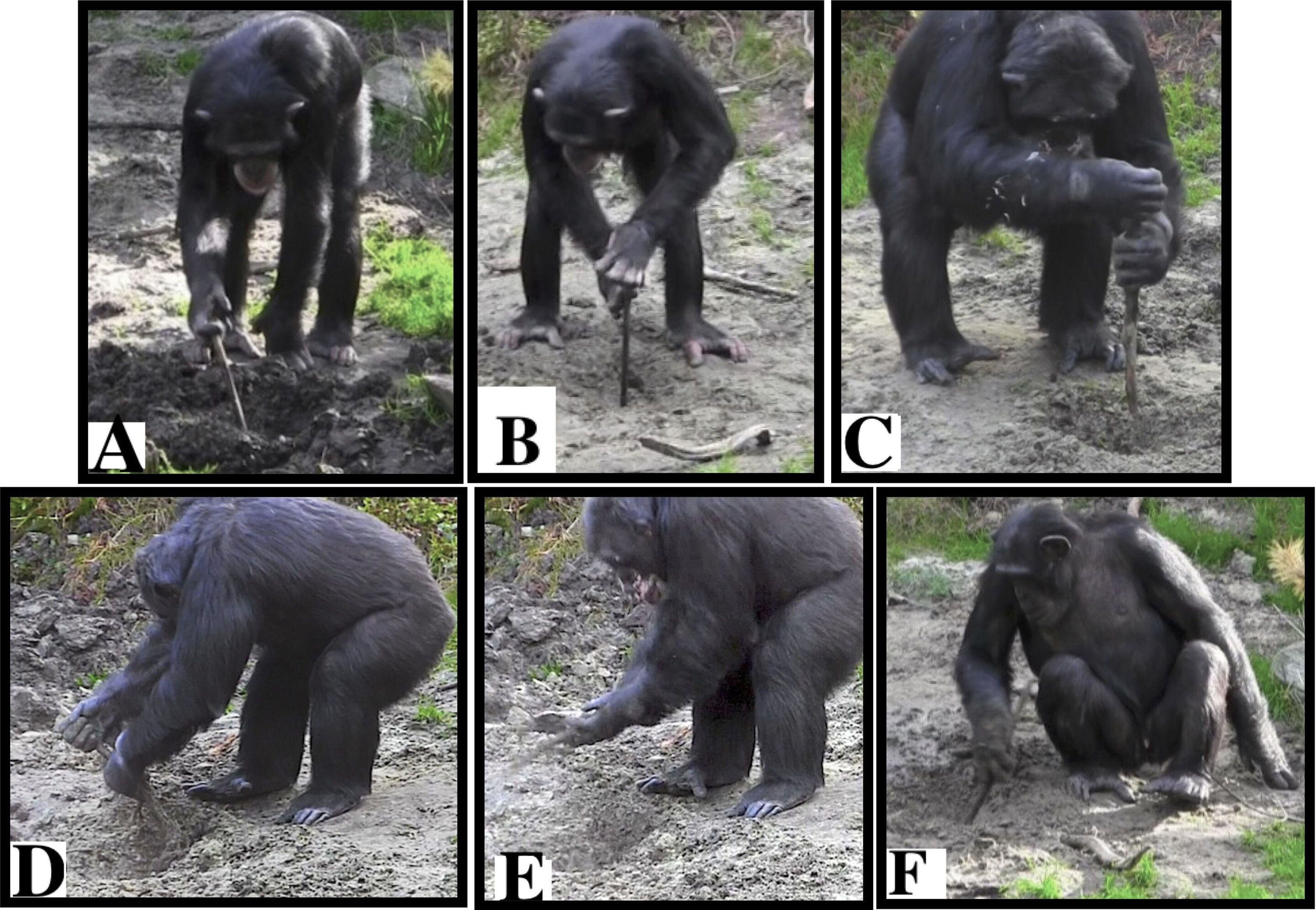 photo of Captive chimpanzees spontaneously use tools to excavate underground food image